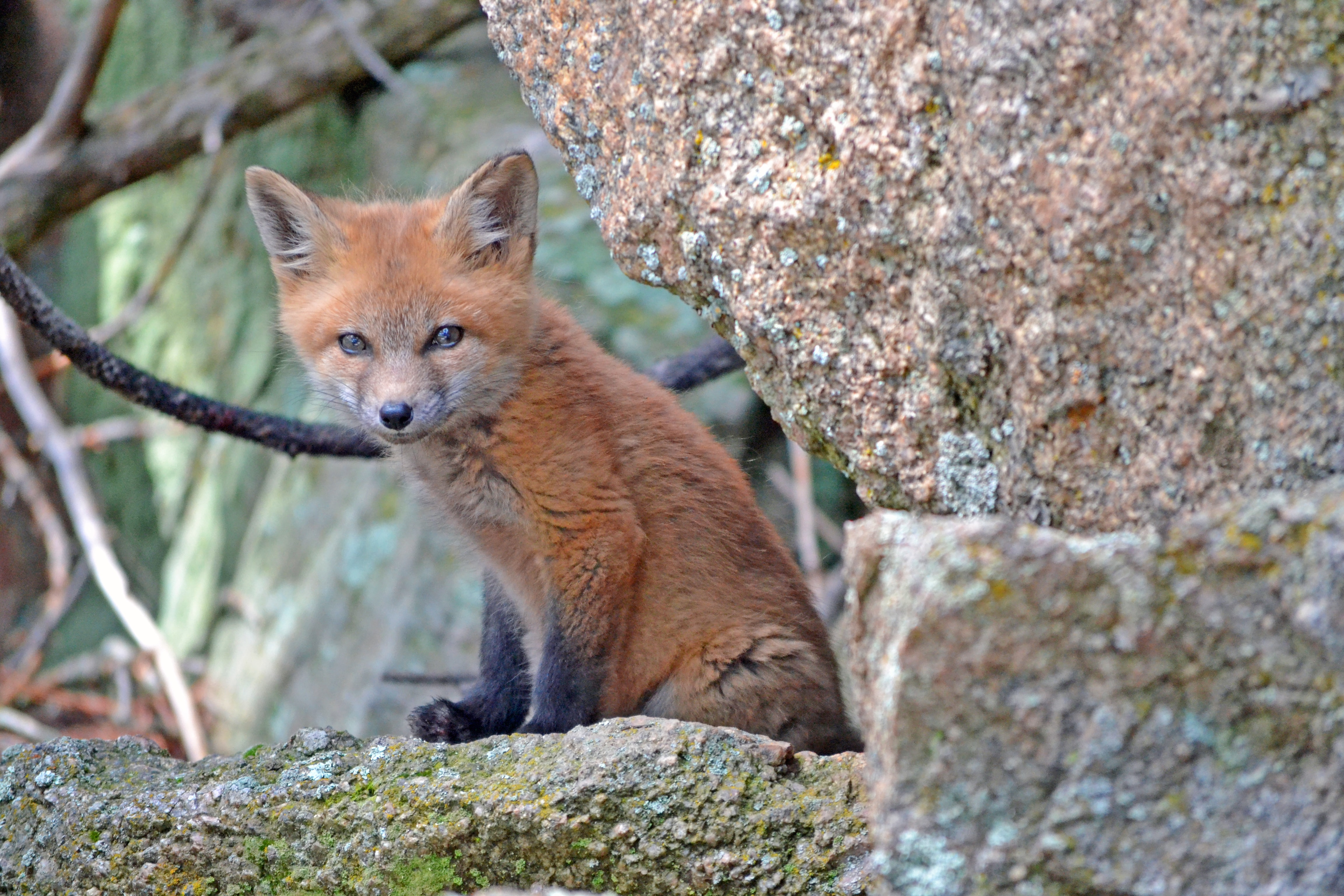 Baby fox beside a tangle of vines and branches and mossy rocks