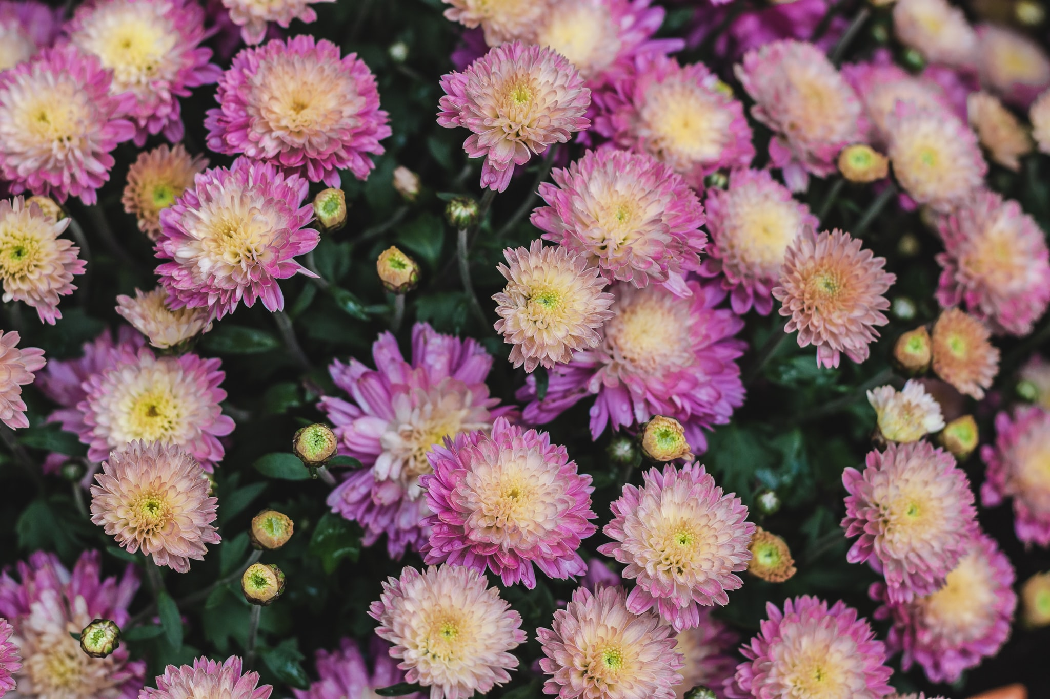 Top view of a bed of yellow and pink flowers