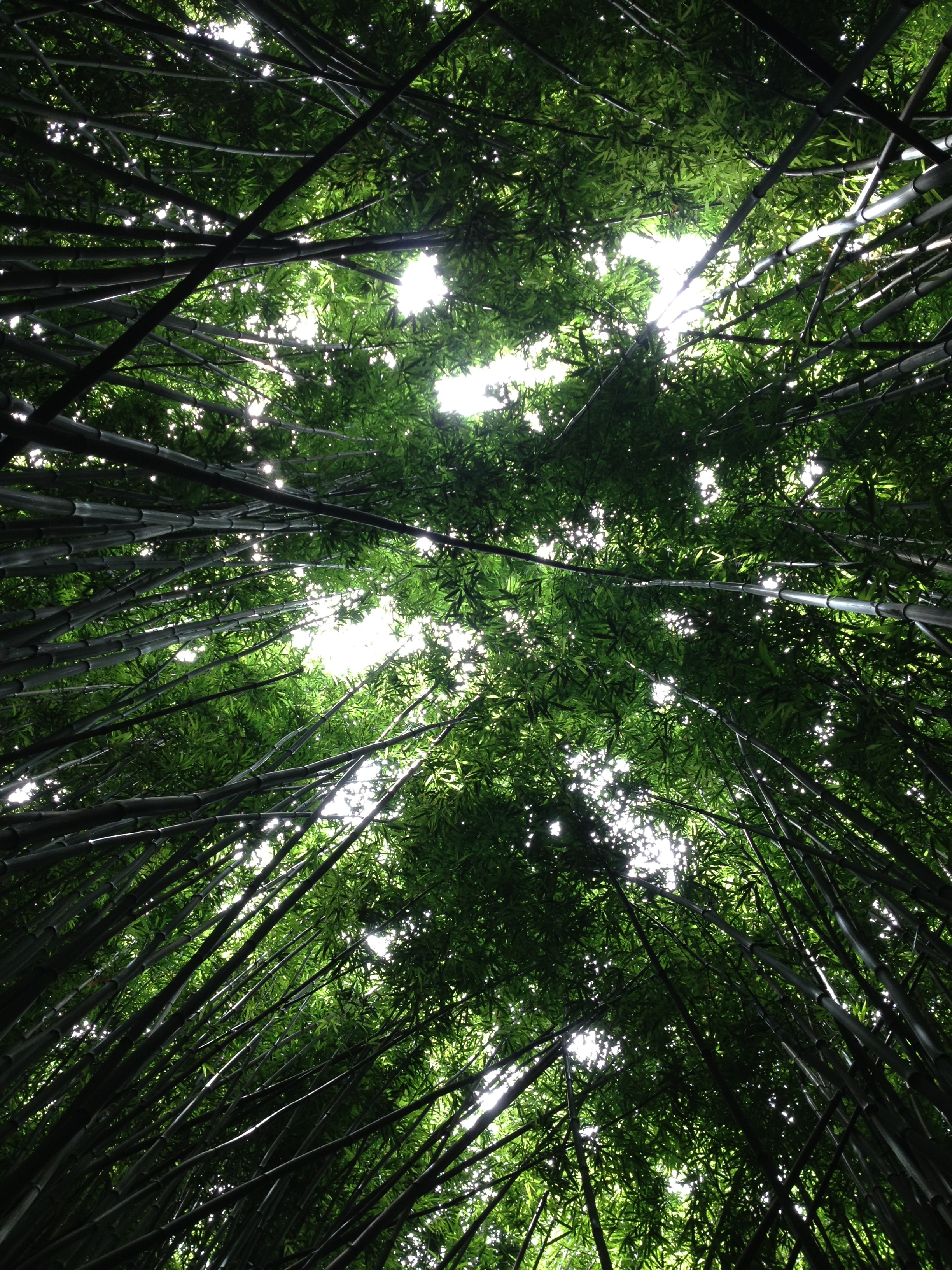A ground-level shot of a thick canopy of bamboos