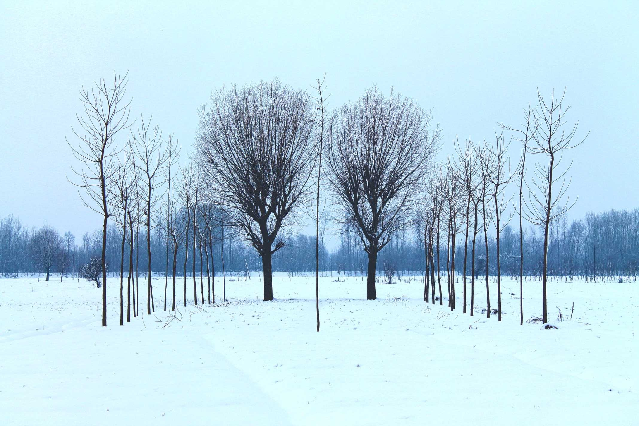 Trees form symmetric lines in a snowy winter field
