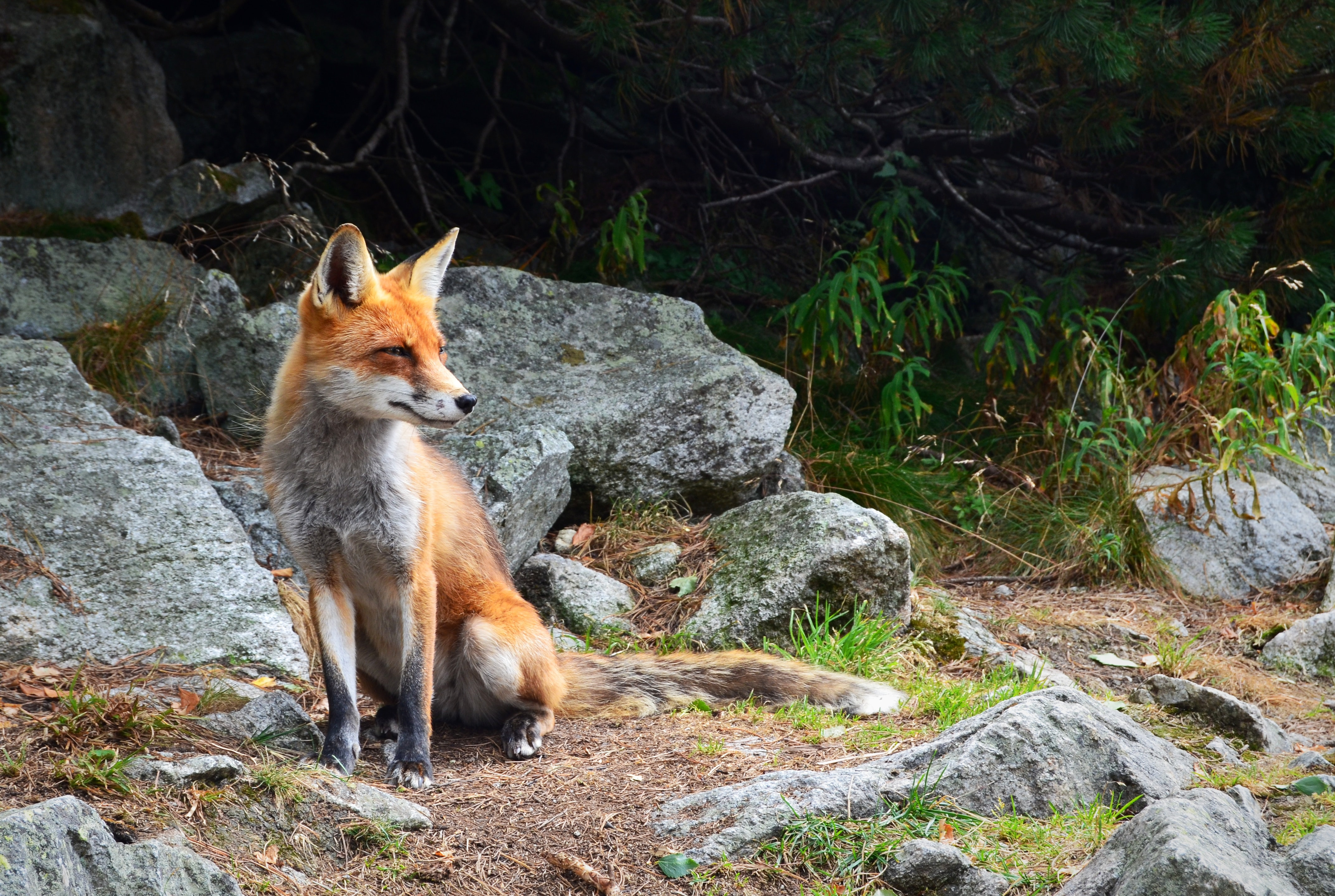 A fox squinting its eyes near weathered rocks in a forest