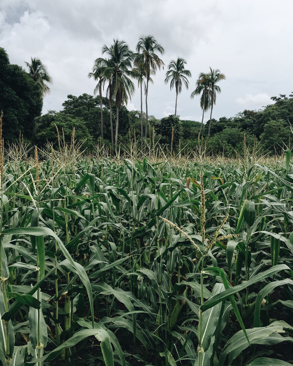 corn field surround by trees