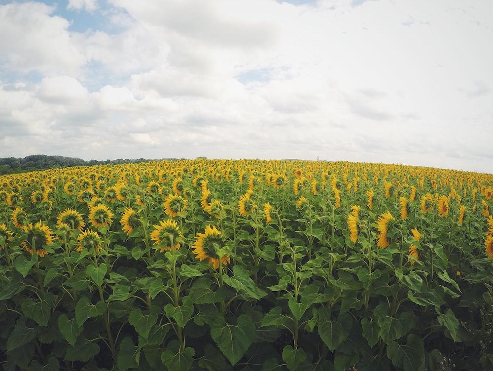 yellow sunflower in bloom plantation