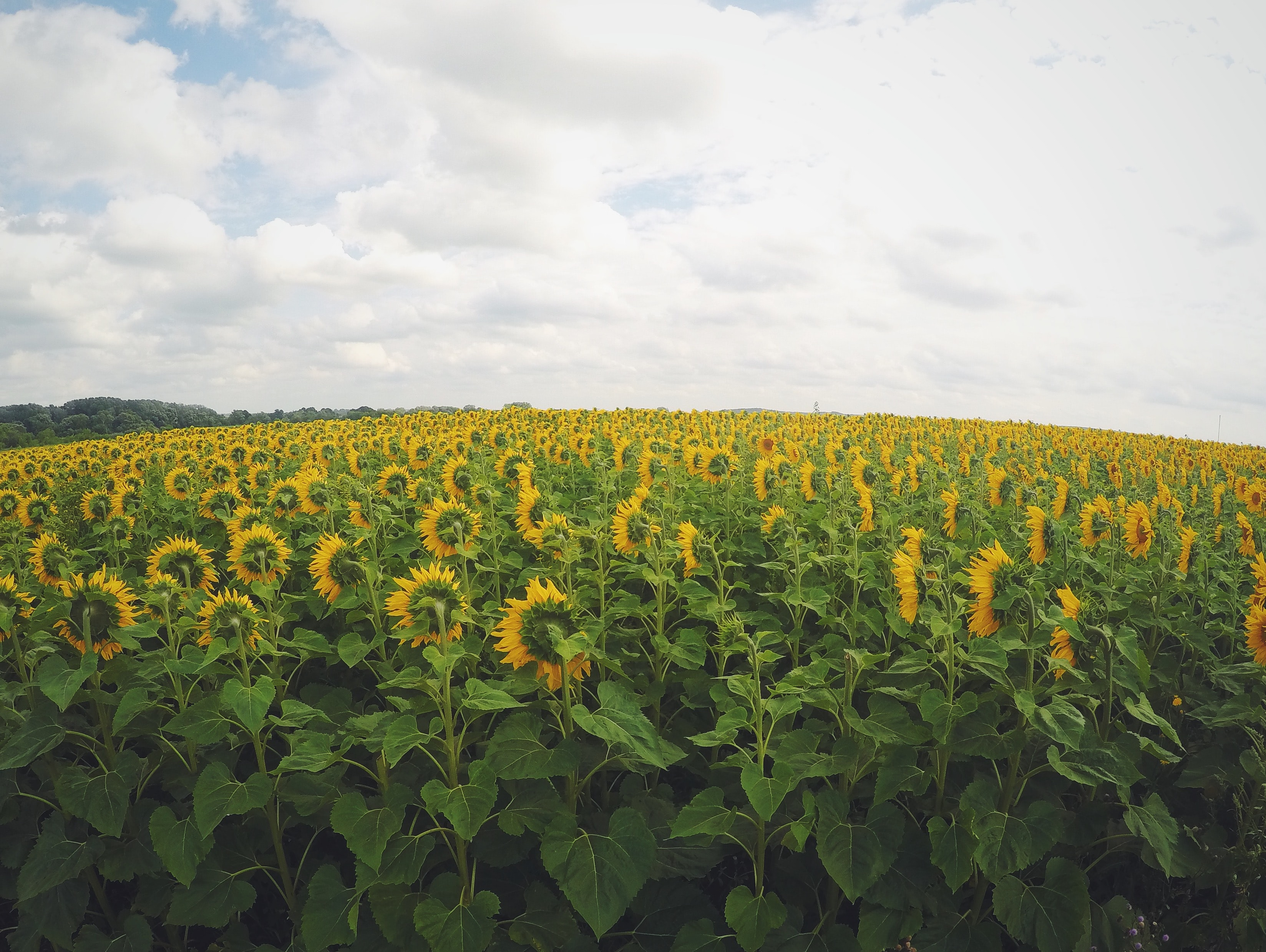 A vast field of sunflowers turning their heads towards the sun