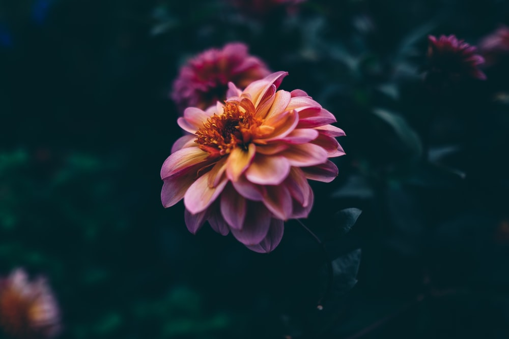 pink and brown petaled flower