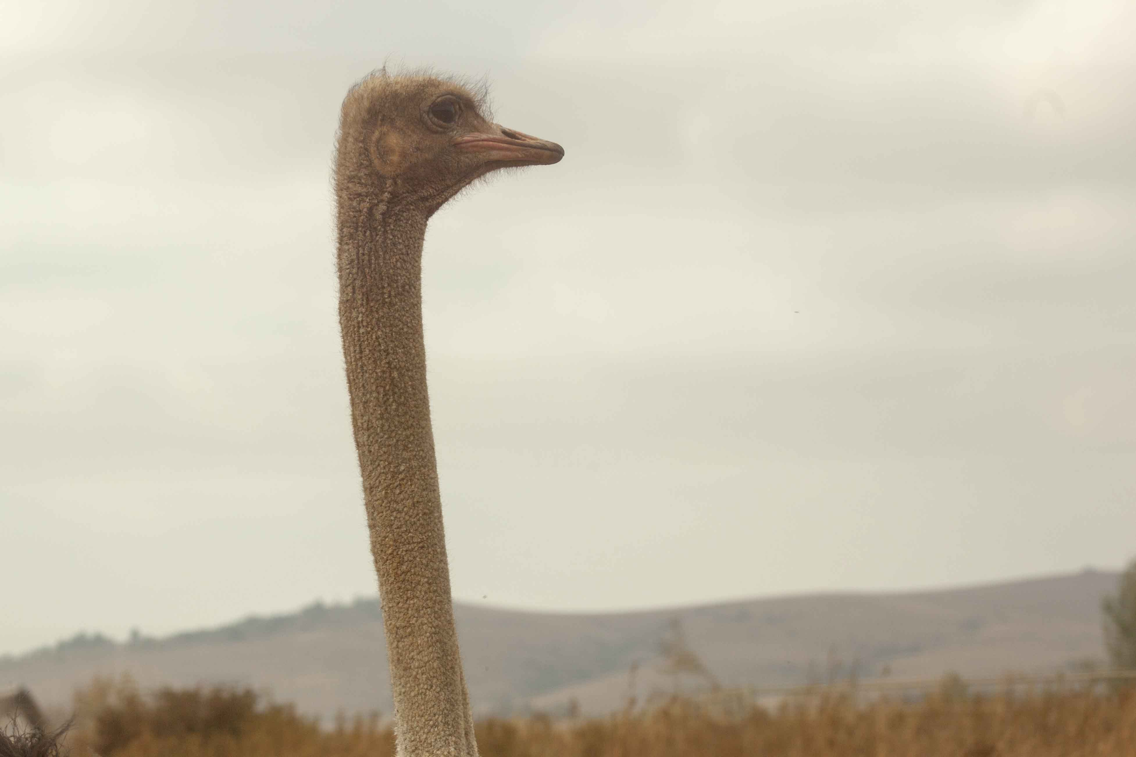 Ostrich with a large neck and a gray background