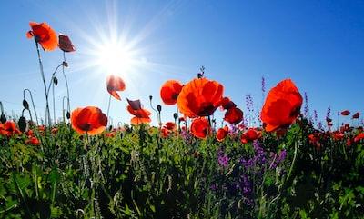 red poppy flower field at daytime flowers zoom background