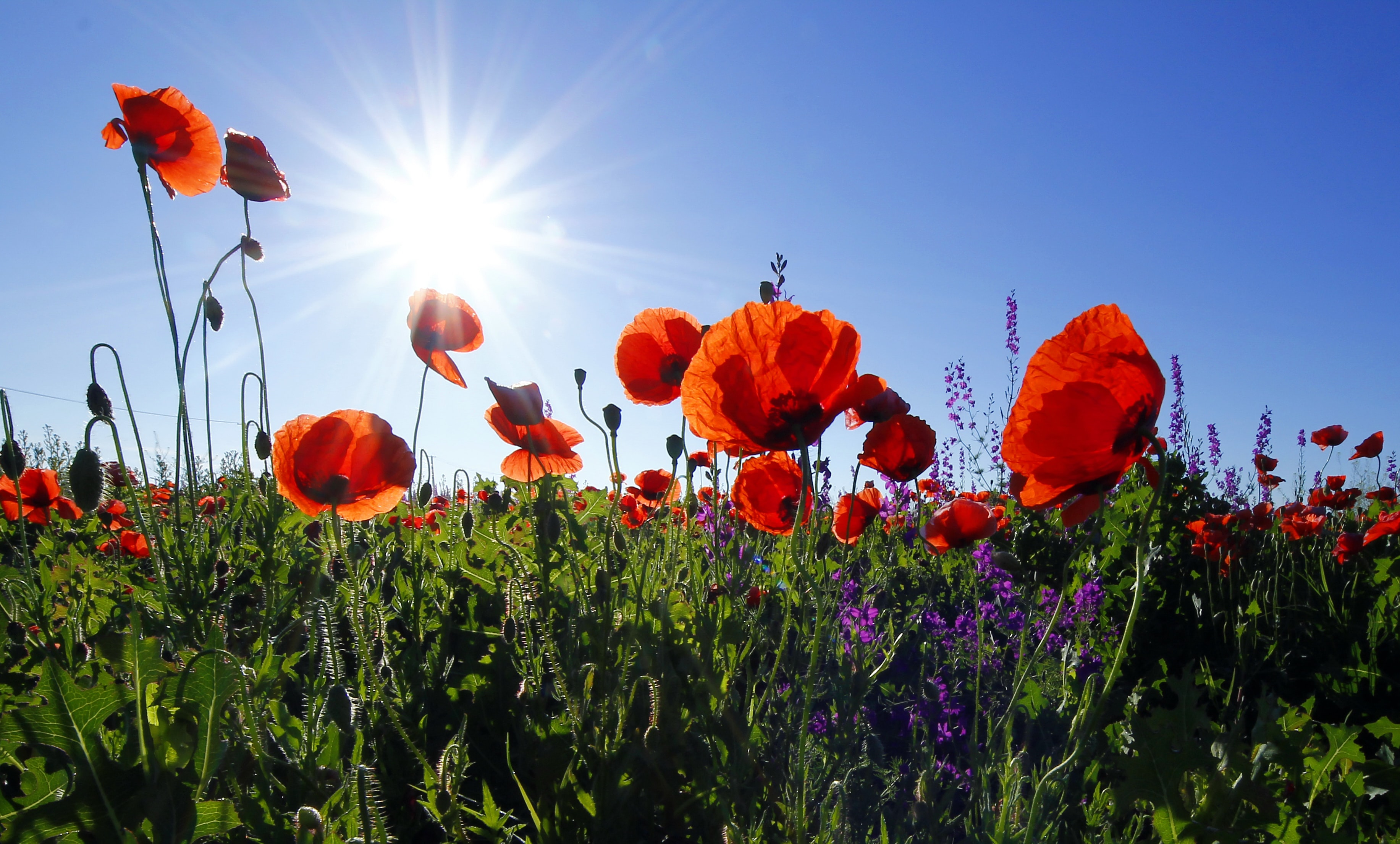 A low shot of a field of red poppies under a bright sun on a clear sky