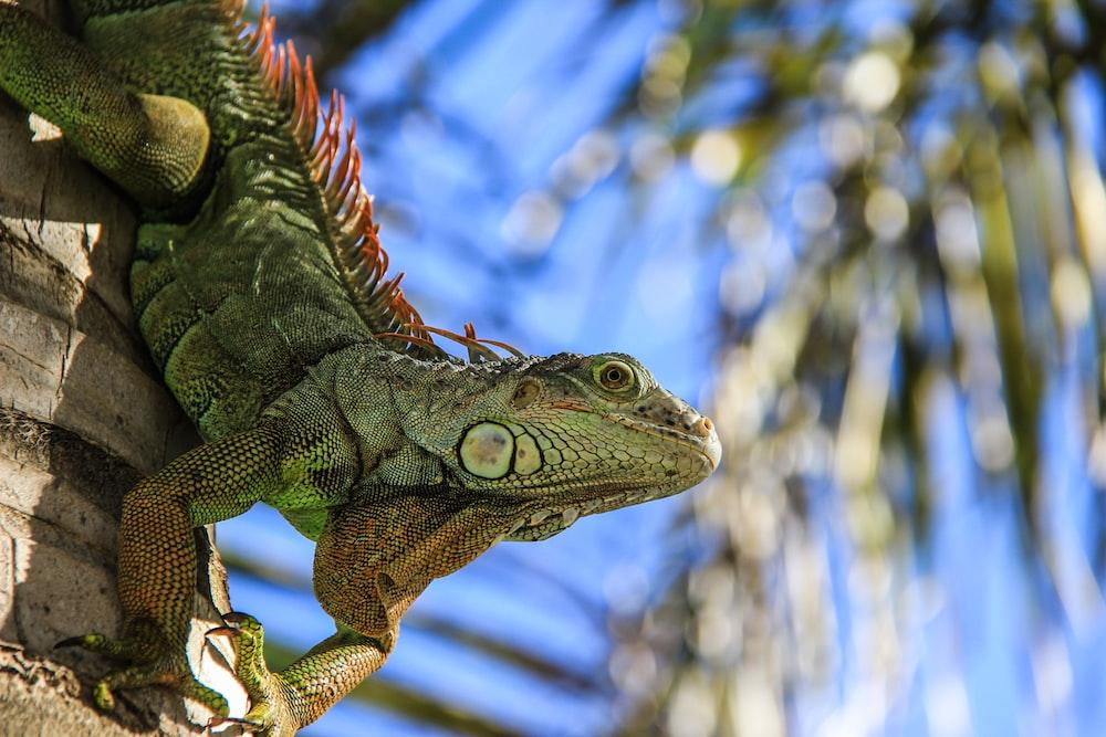 selective focus photography of green iguana