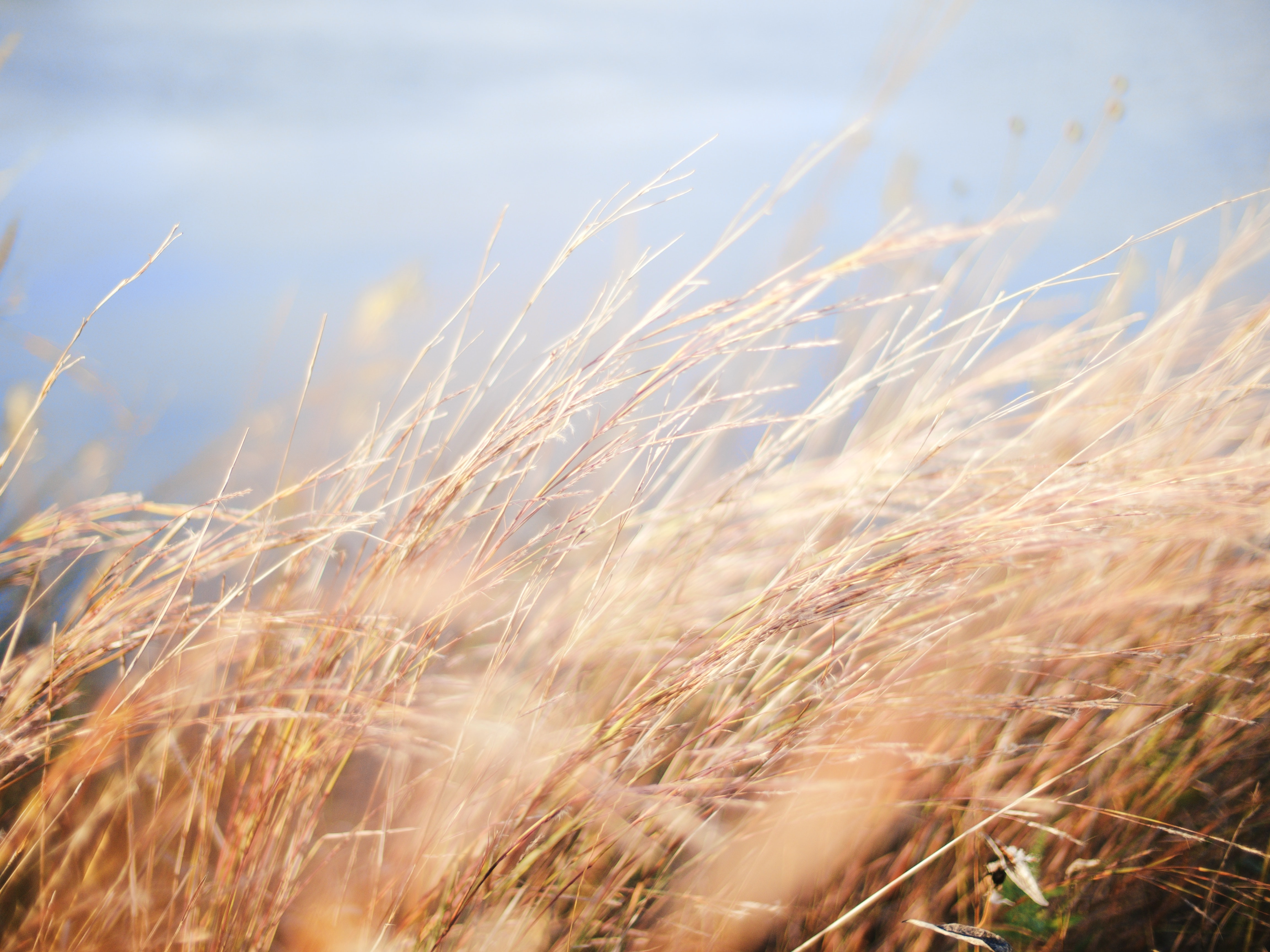selective photo of a wheat
