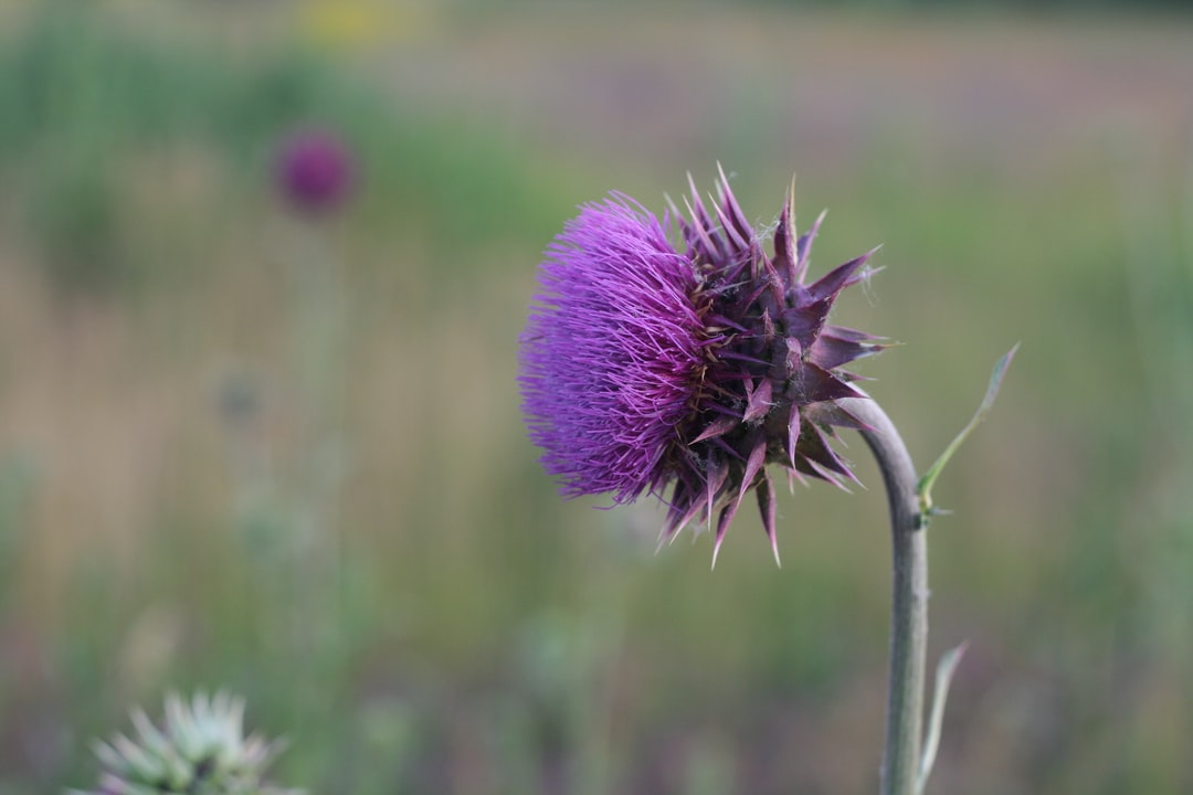 Thistle flower up close