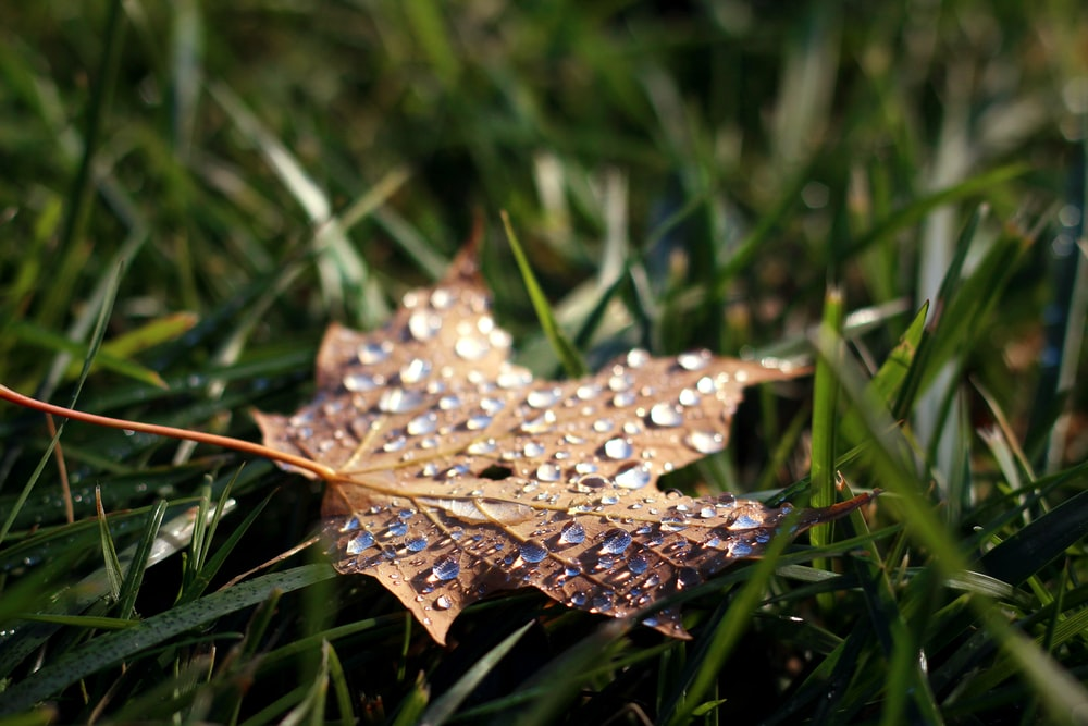 maple leaf with water dew on top selective focus photo