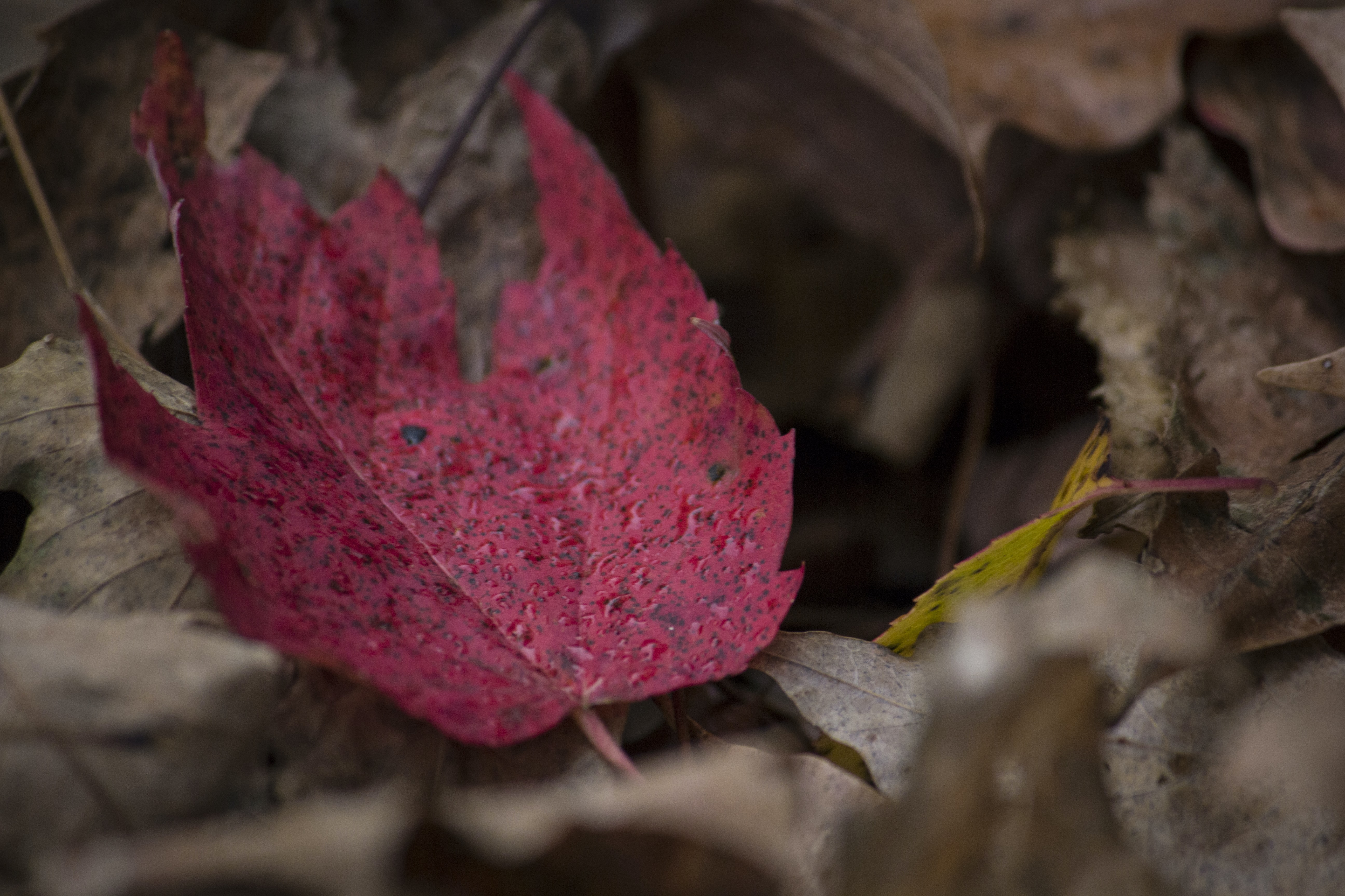A distinctive red maple leaf among other brown autumn leaves