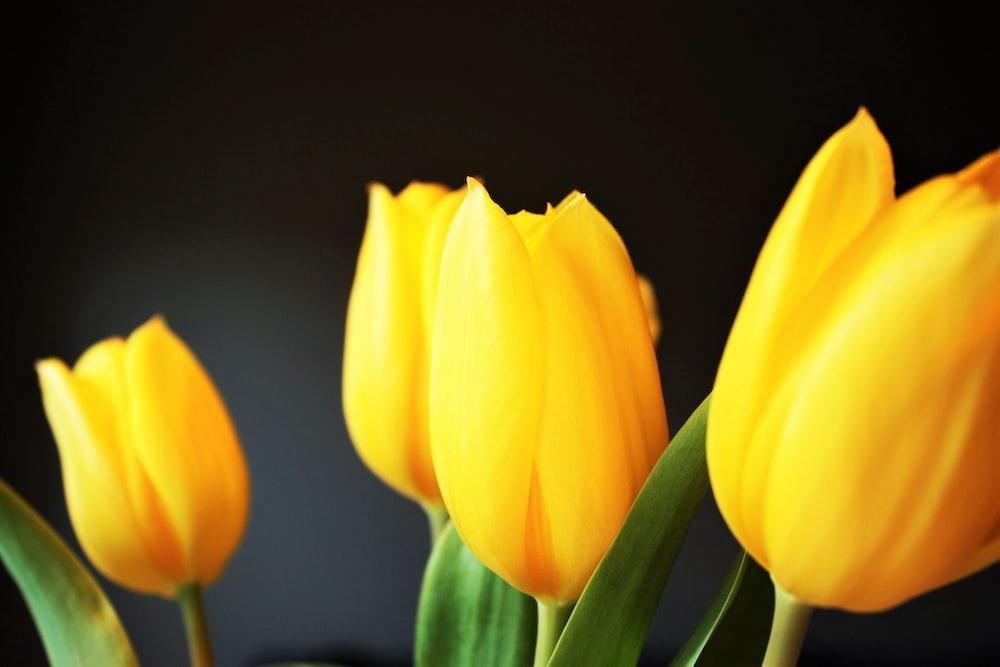 four yellow tulips