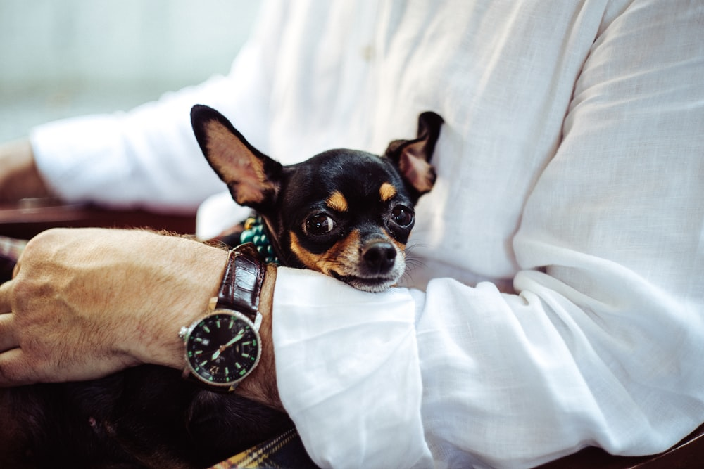 man in white dress shirt wearing round analog watch with brown leather bracelet holding black chihuahua during daytime