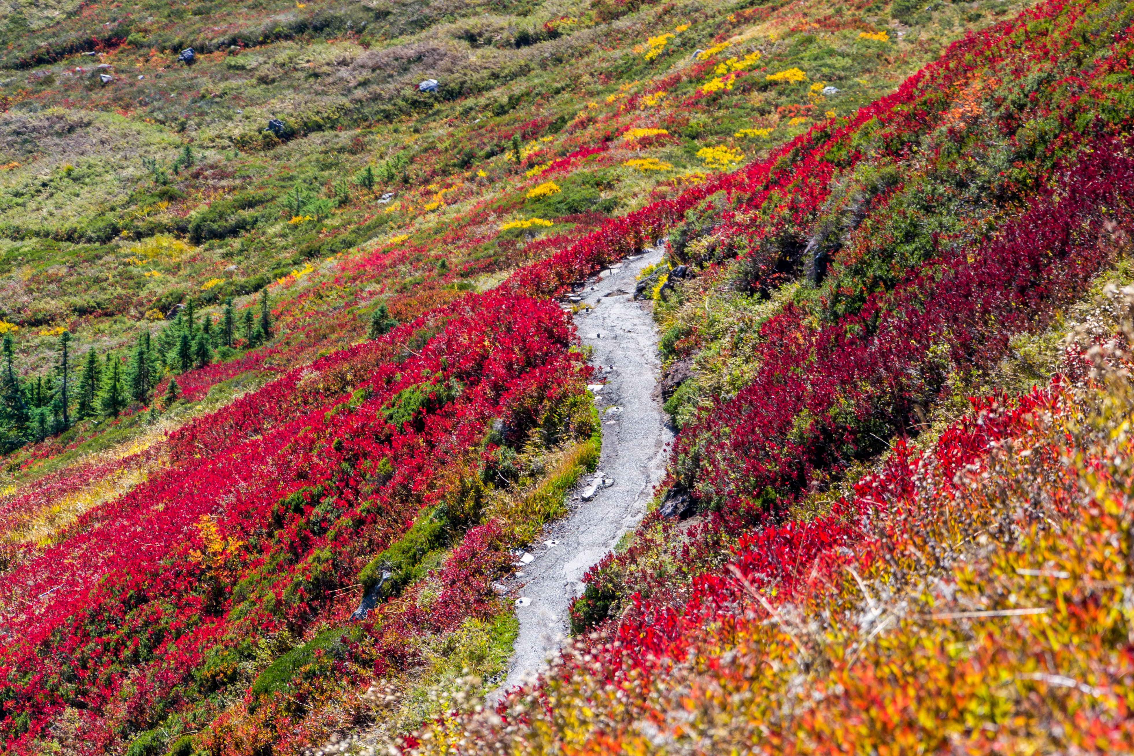 road in middle of red and yellow flower field