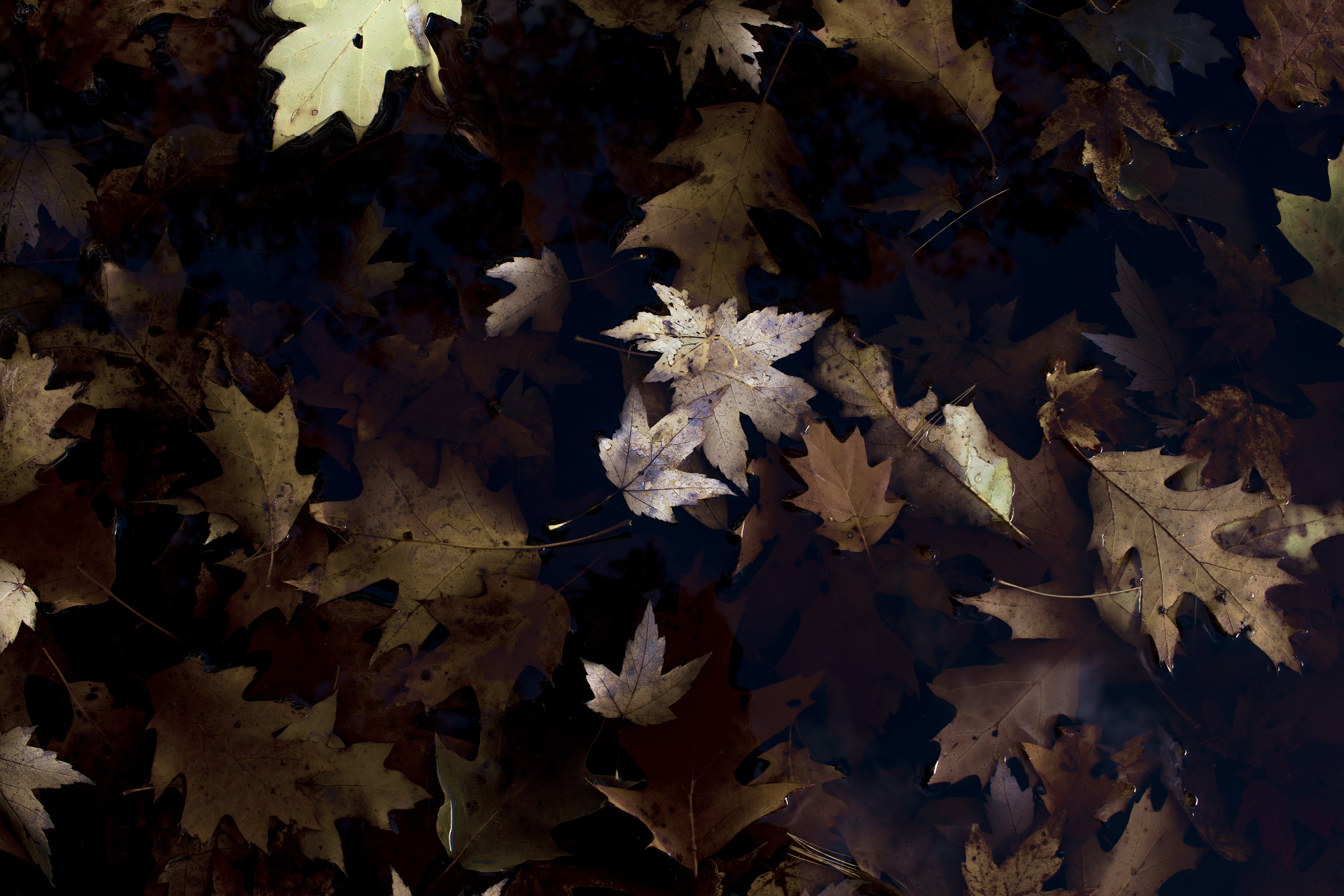 An overhead shot of brown autumn maple and oak leaves on the ground