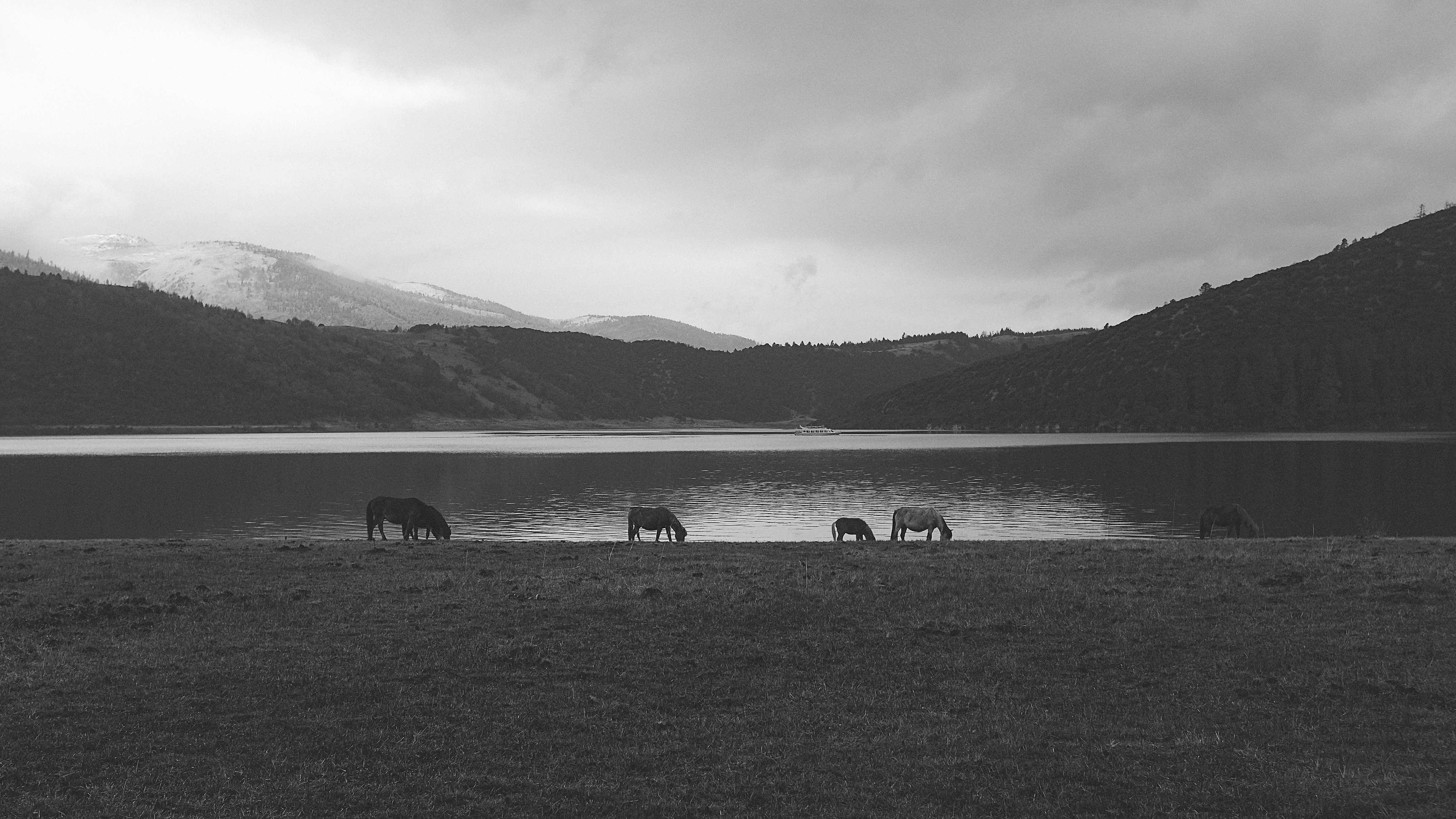 A black and white shot of a herd of horses grazing on the shore of a lake