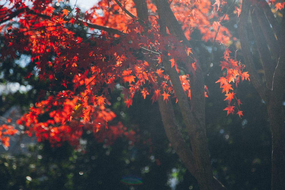 close up photo of red leaf maple tree