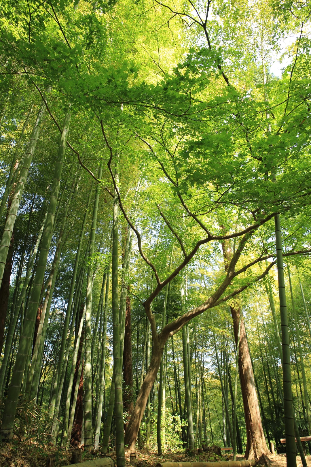 Bamboo and tree canopy