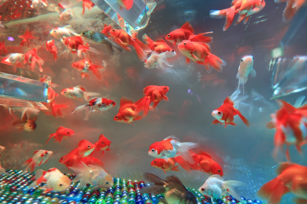 school of red gold fish