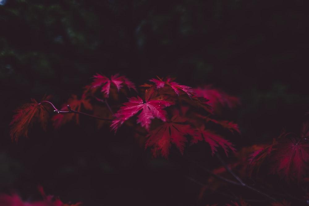 selective focus of purple leaf plant