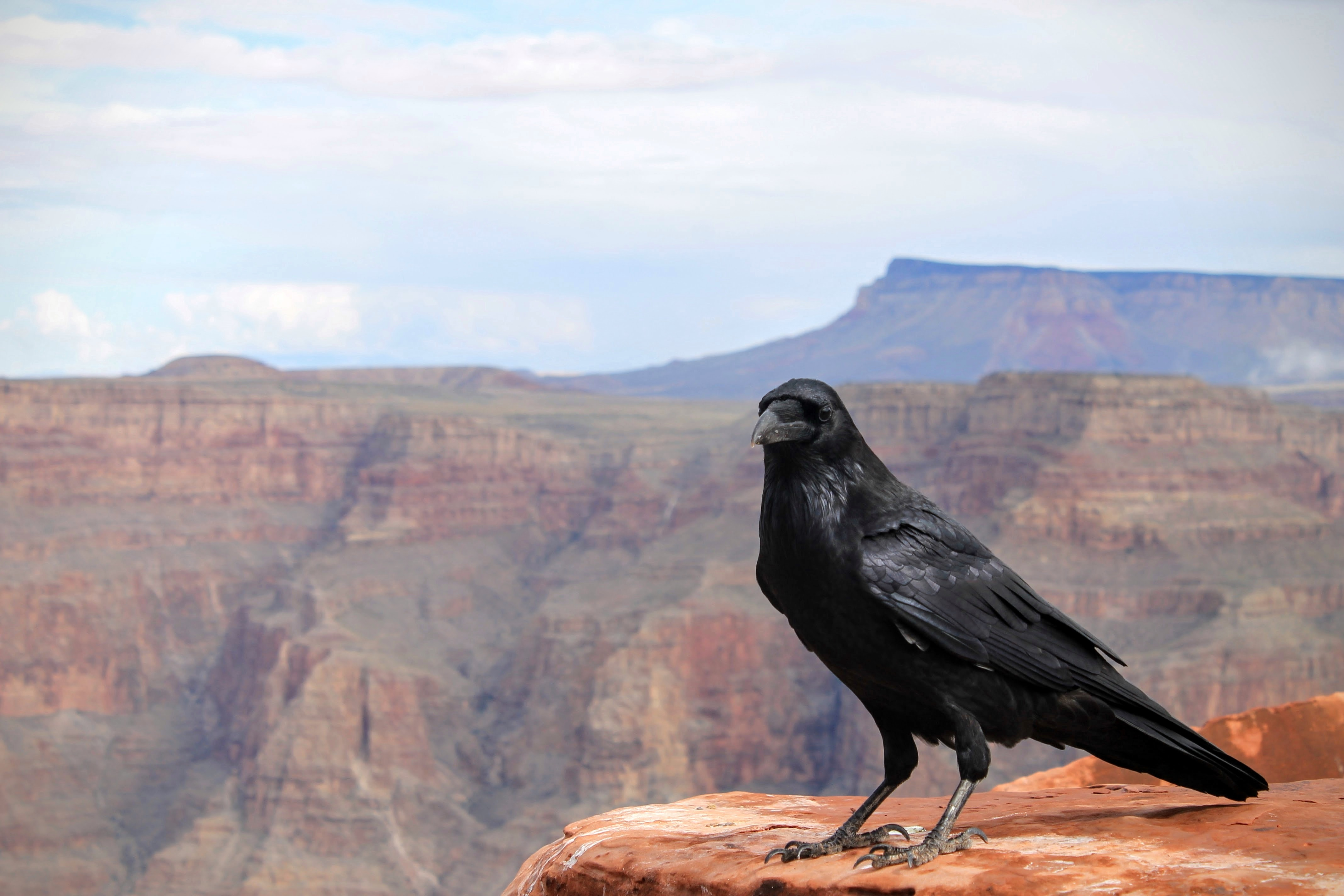 black crow on top of Grand Canyon, Arizona