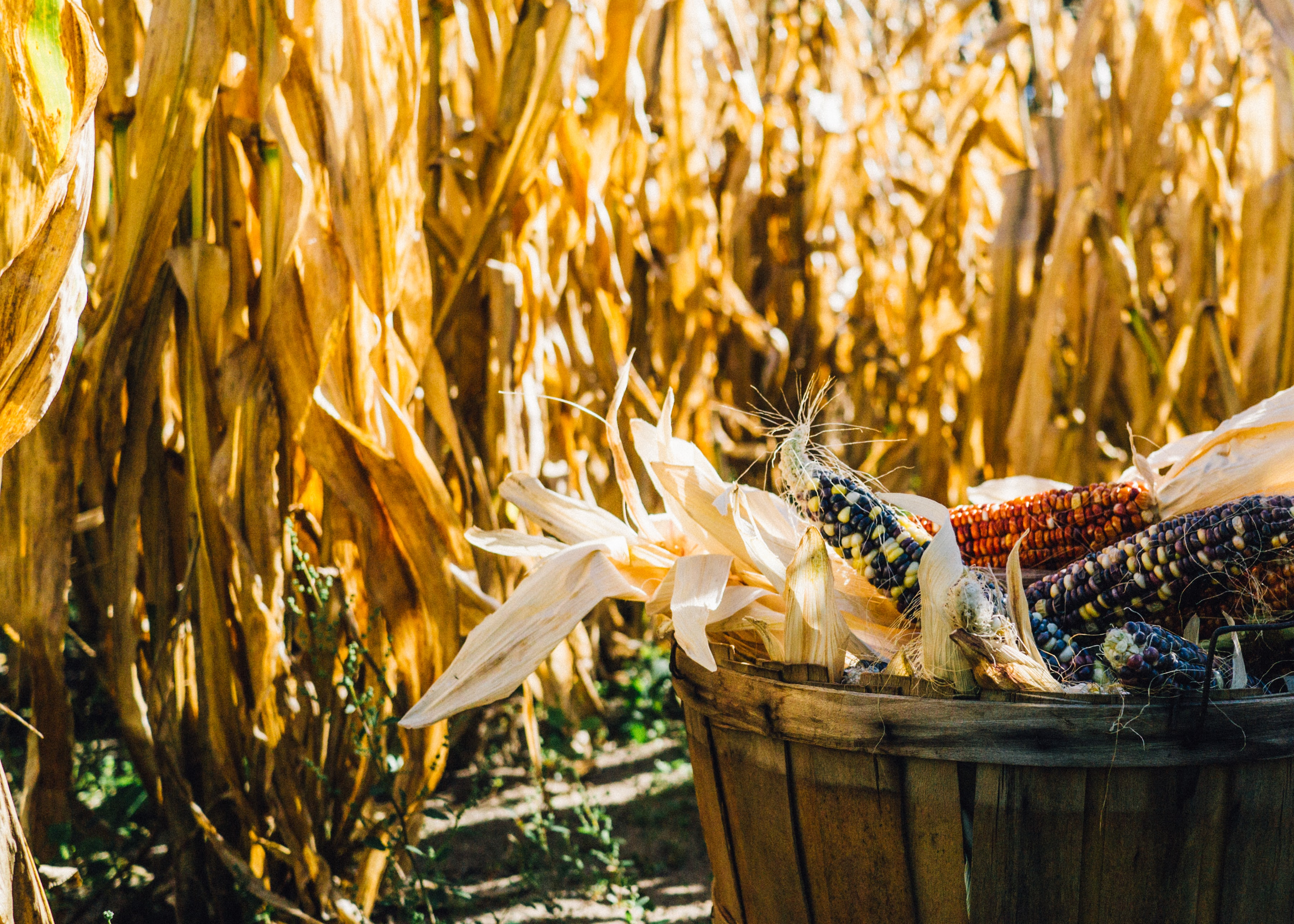 Basket of colorful corn in a cornfield with tall stalks