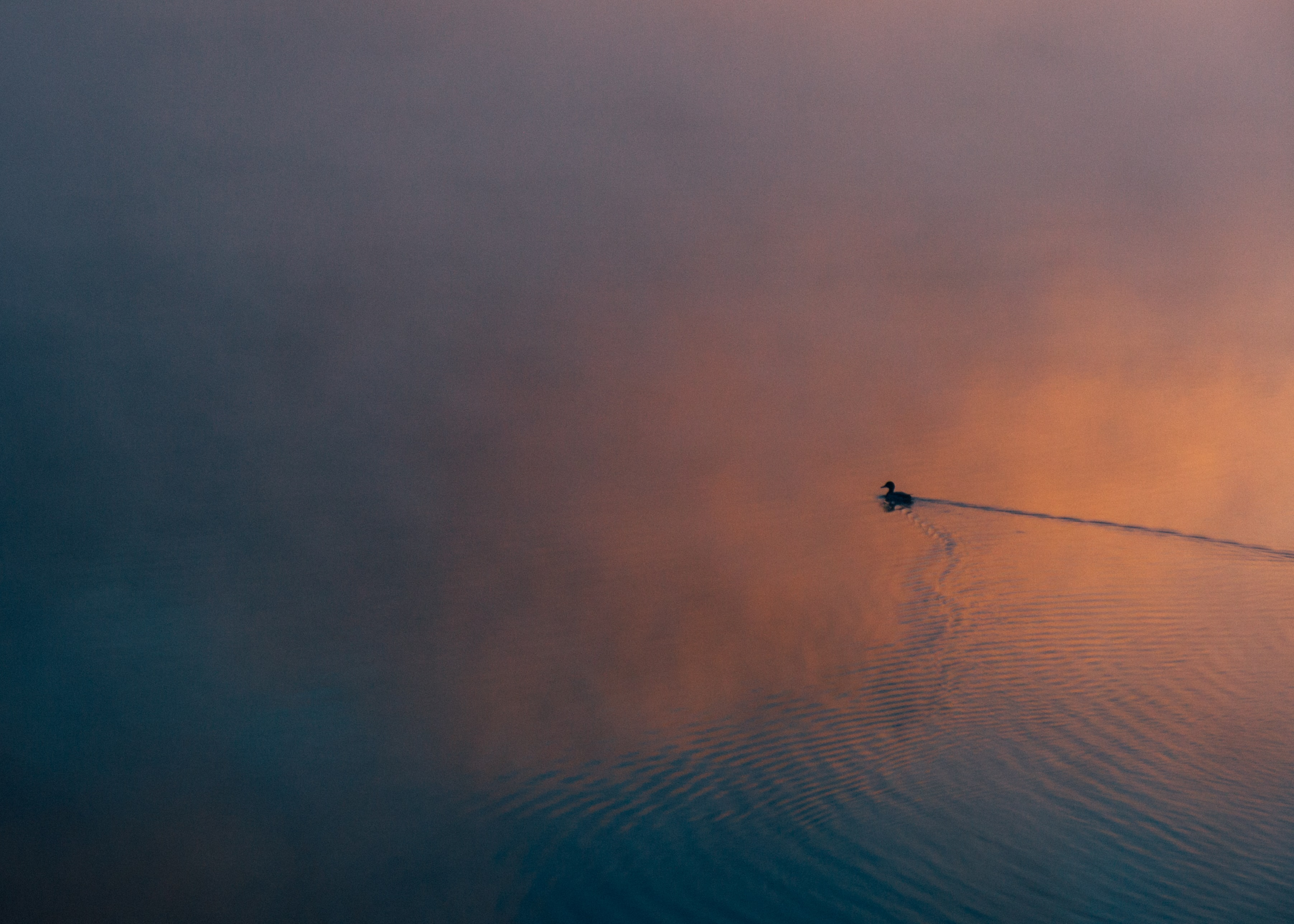 Silhouette of dusk swimming through a calm, misty lake on a colorful evening