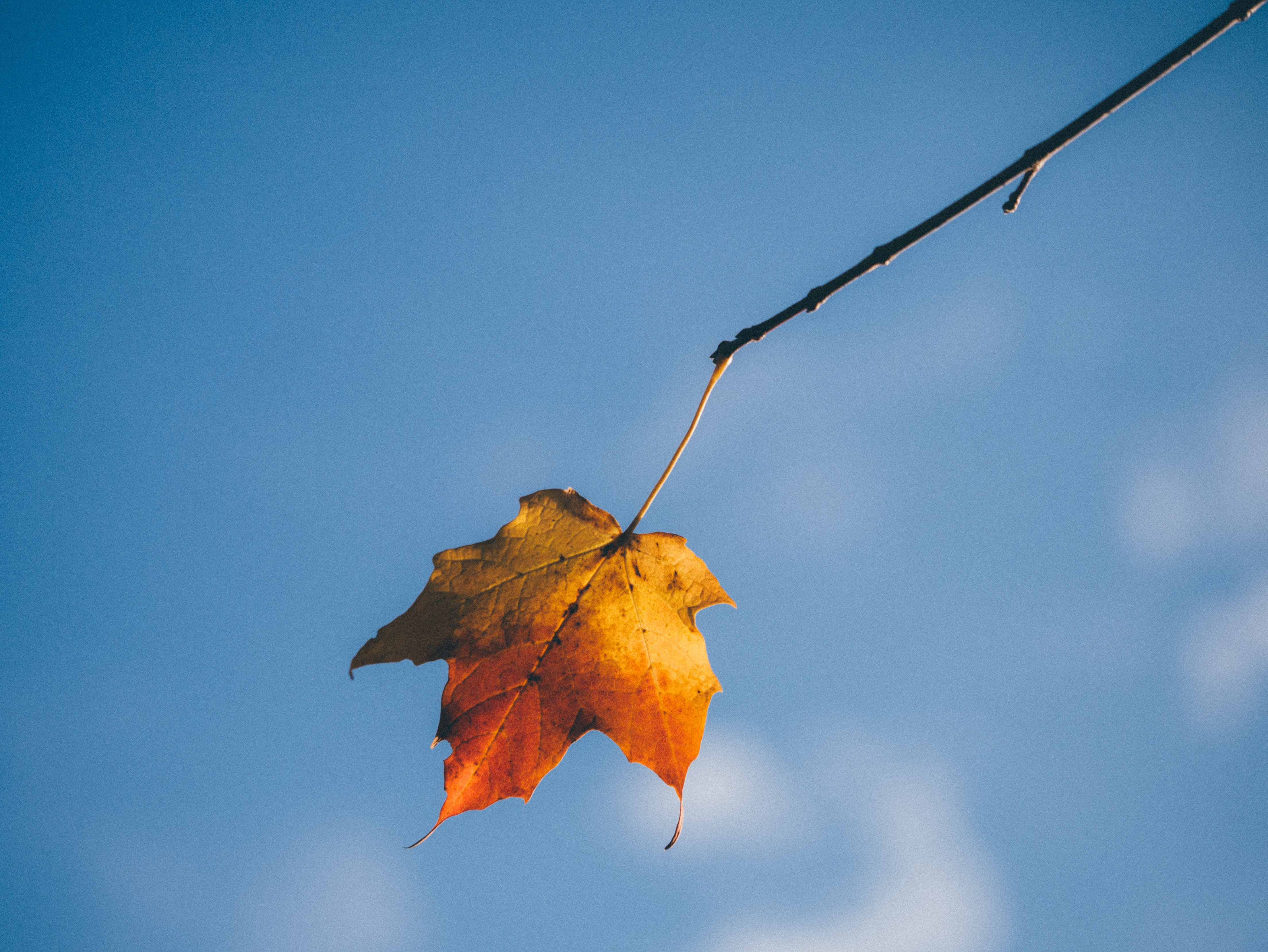 A translucent autumn leaf hanging down from the tip of a branch