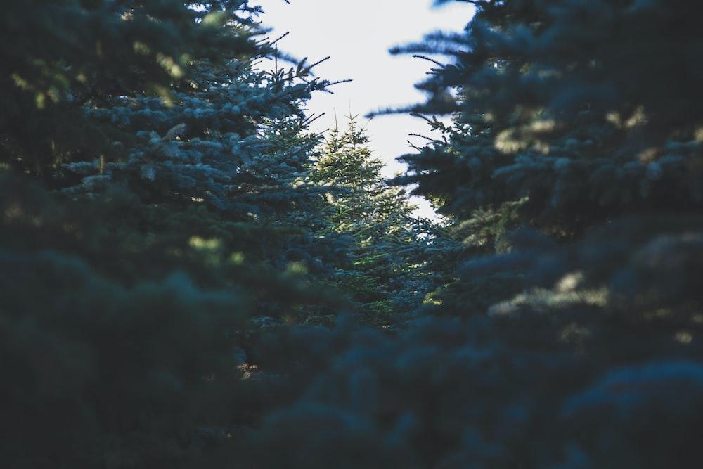 green pine trees at daytime