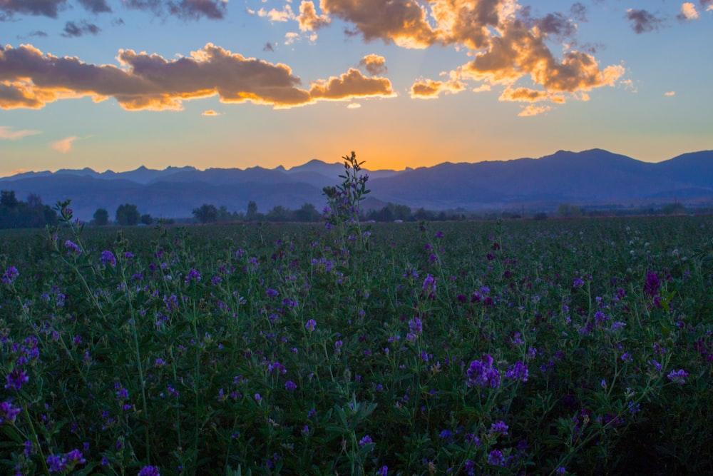 purple flower field near mountain range under golden house