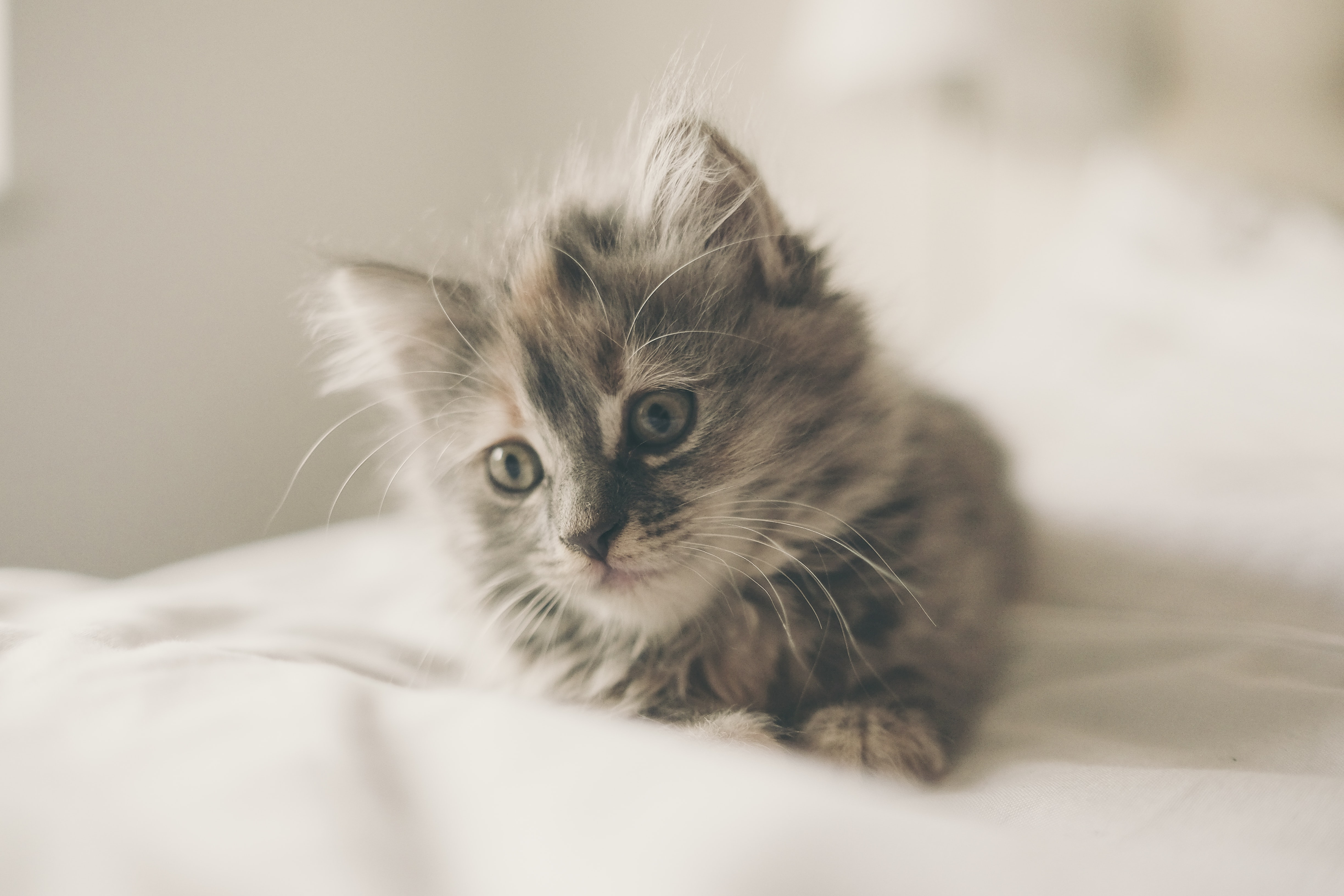 A furry kitten on a white sheet