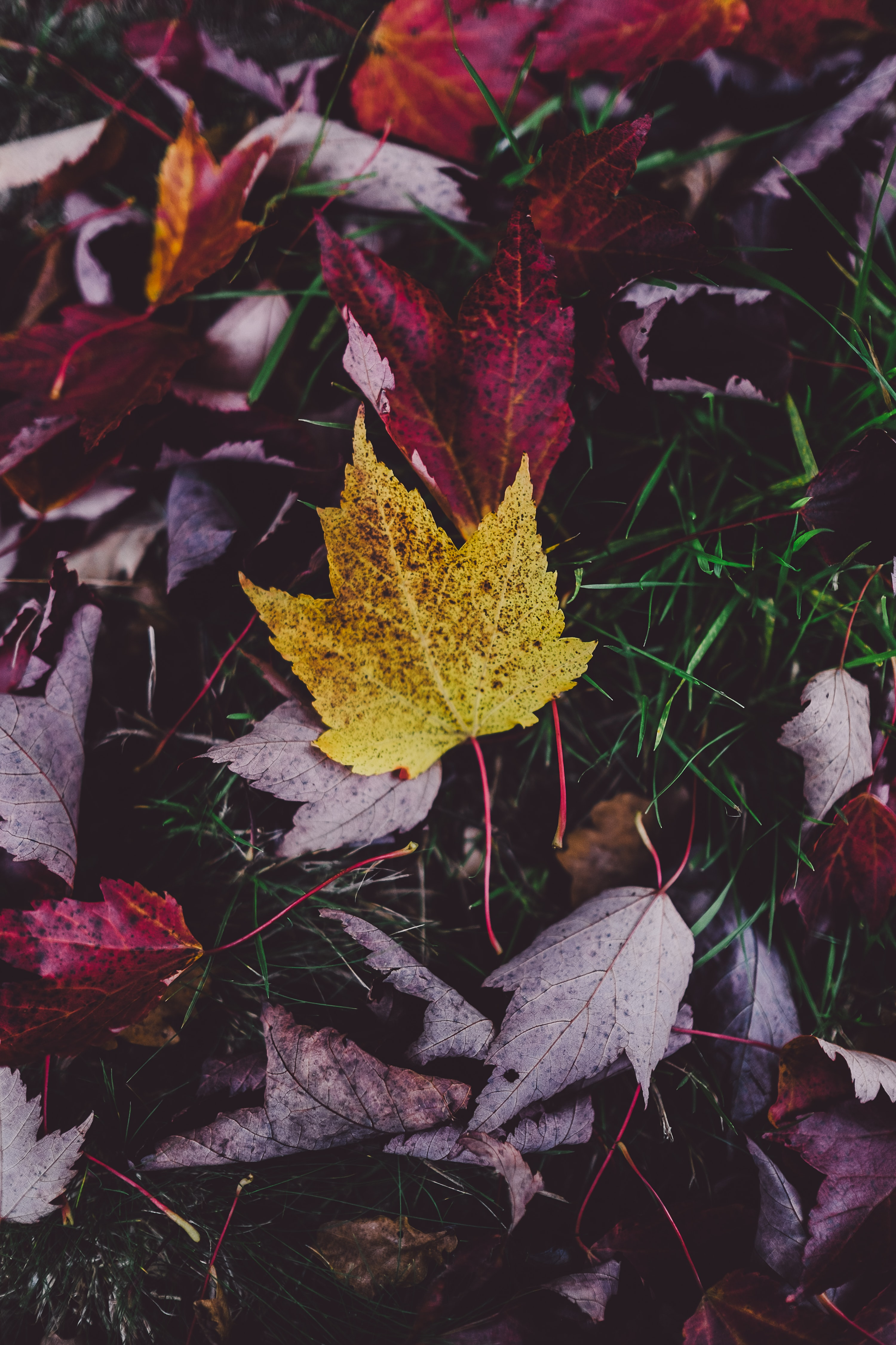 A yellow maple leaf among other red autumn leaves