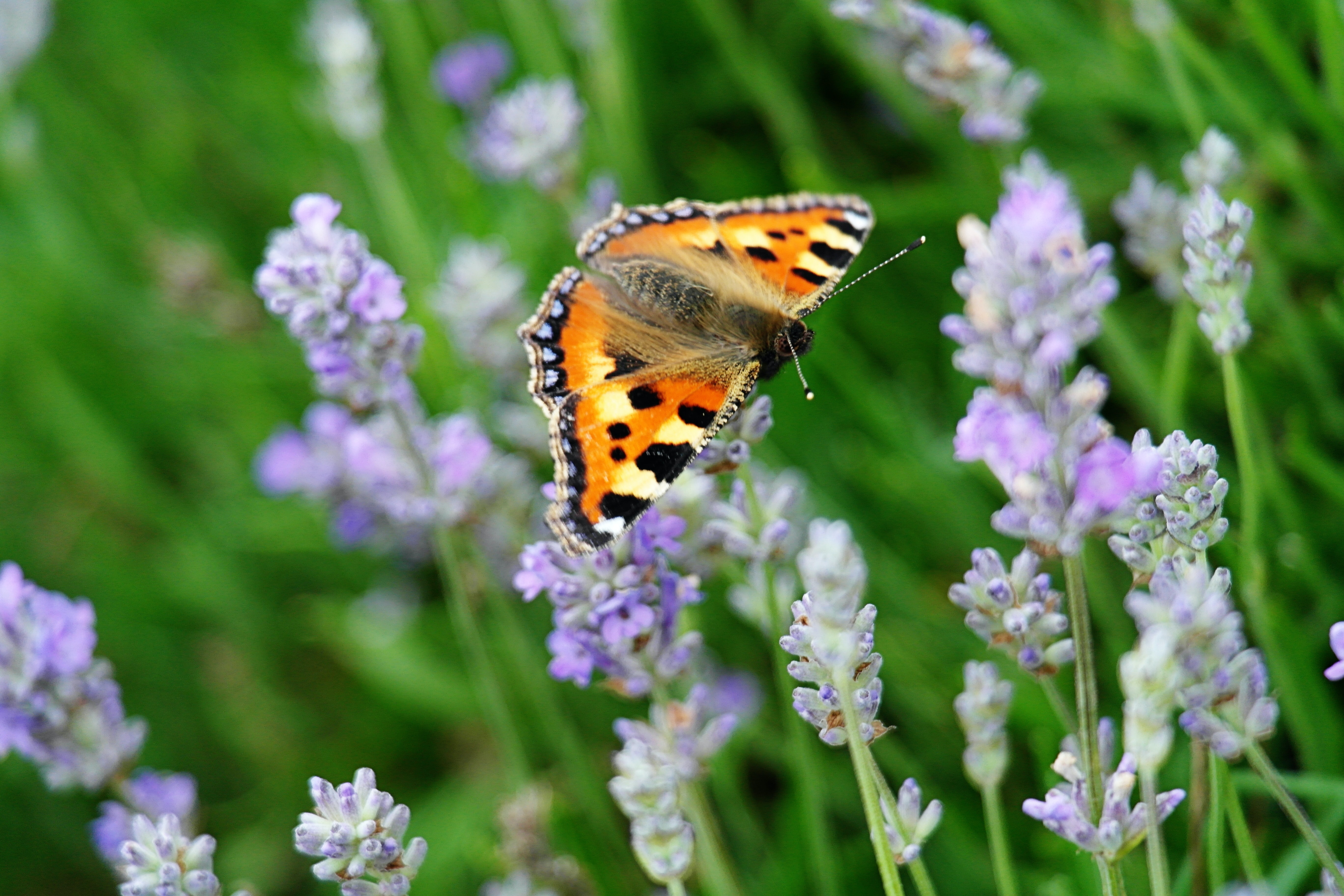 A bright orange butterfly on lilacs.