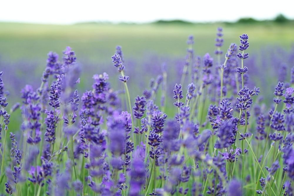 lavender flower field blooms at daytime