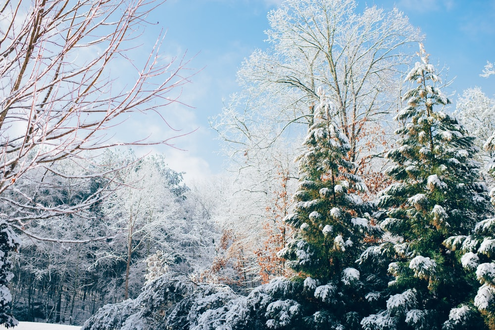 green pine trees during snow season