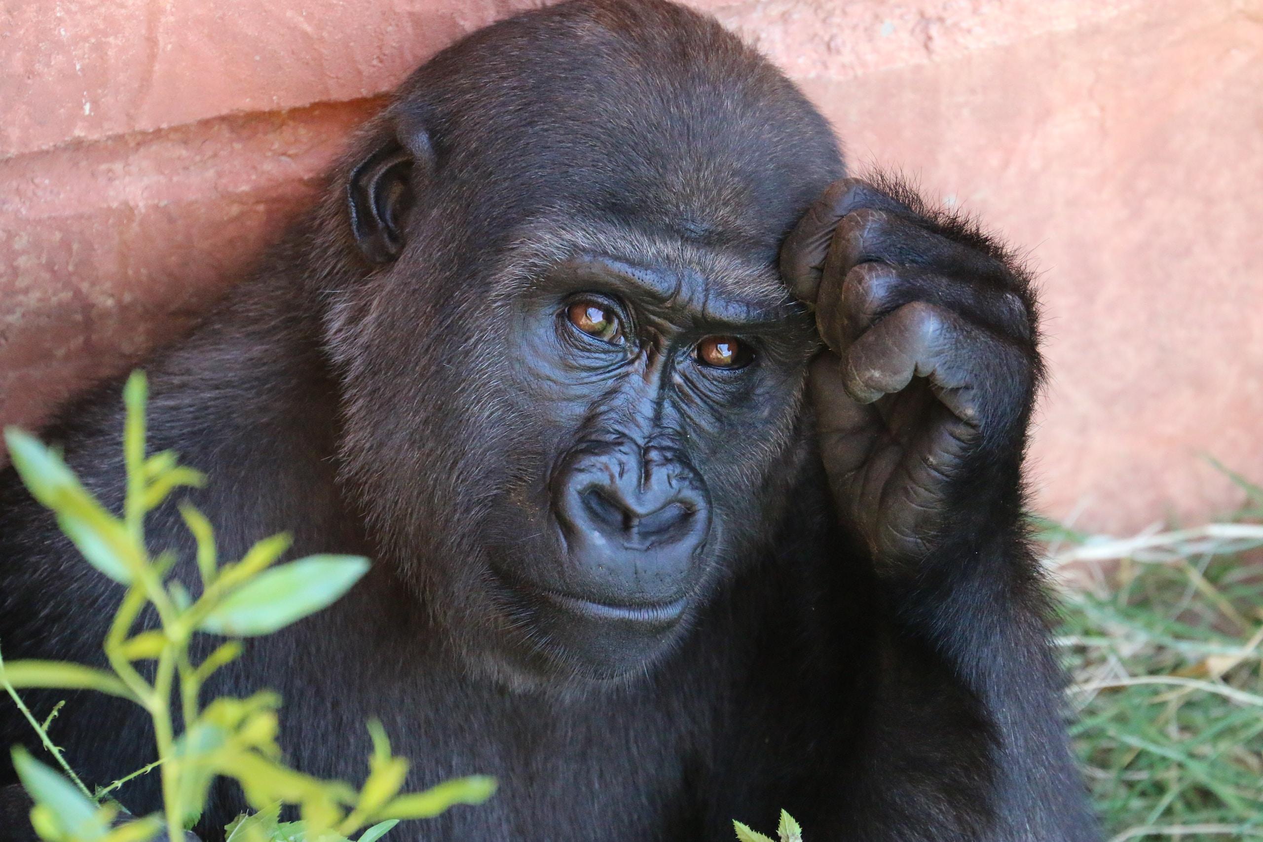 Gorilla, penis size, animals