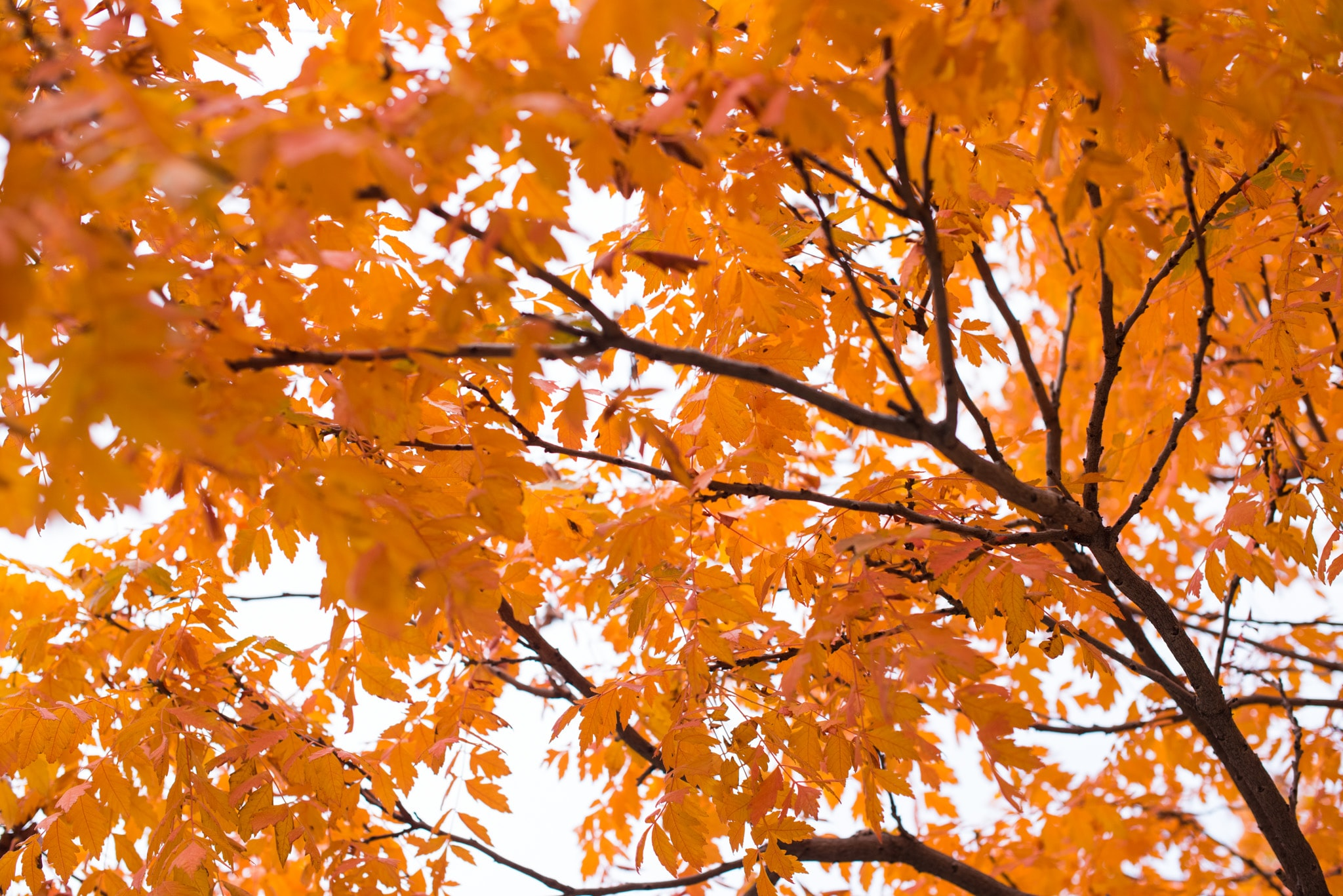 Orange leaves on a tree form a canopy against a pale sky