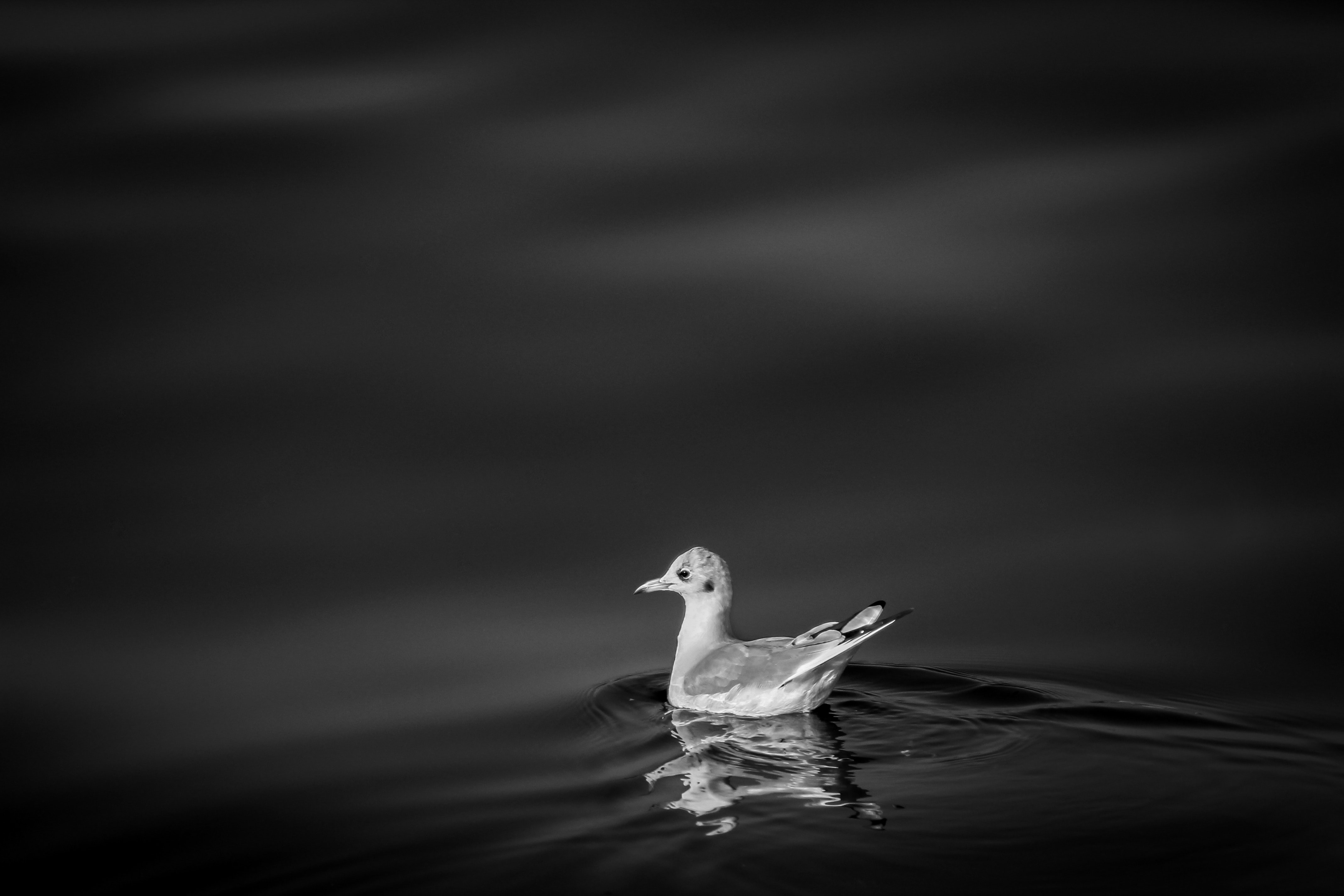 Black and white shot of baby duck floating in water with ripples