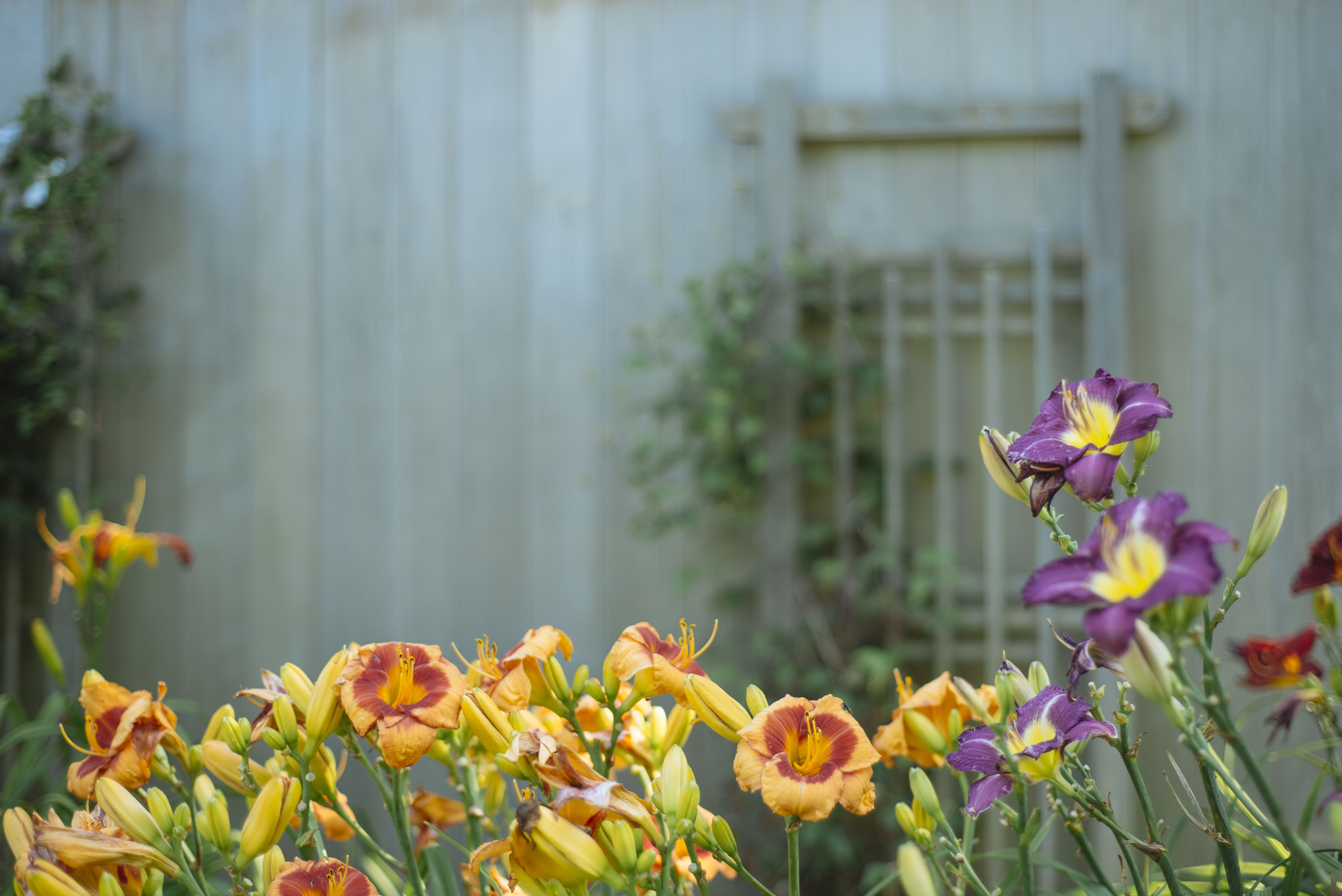 Orange and purple flowers in bloom with a wooden wall in the background