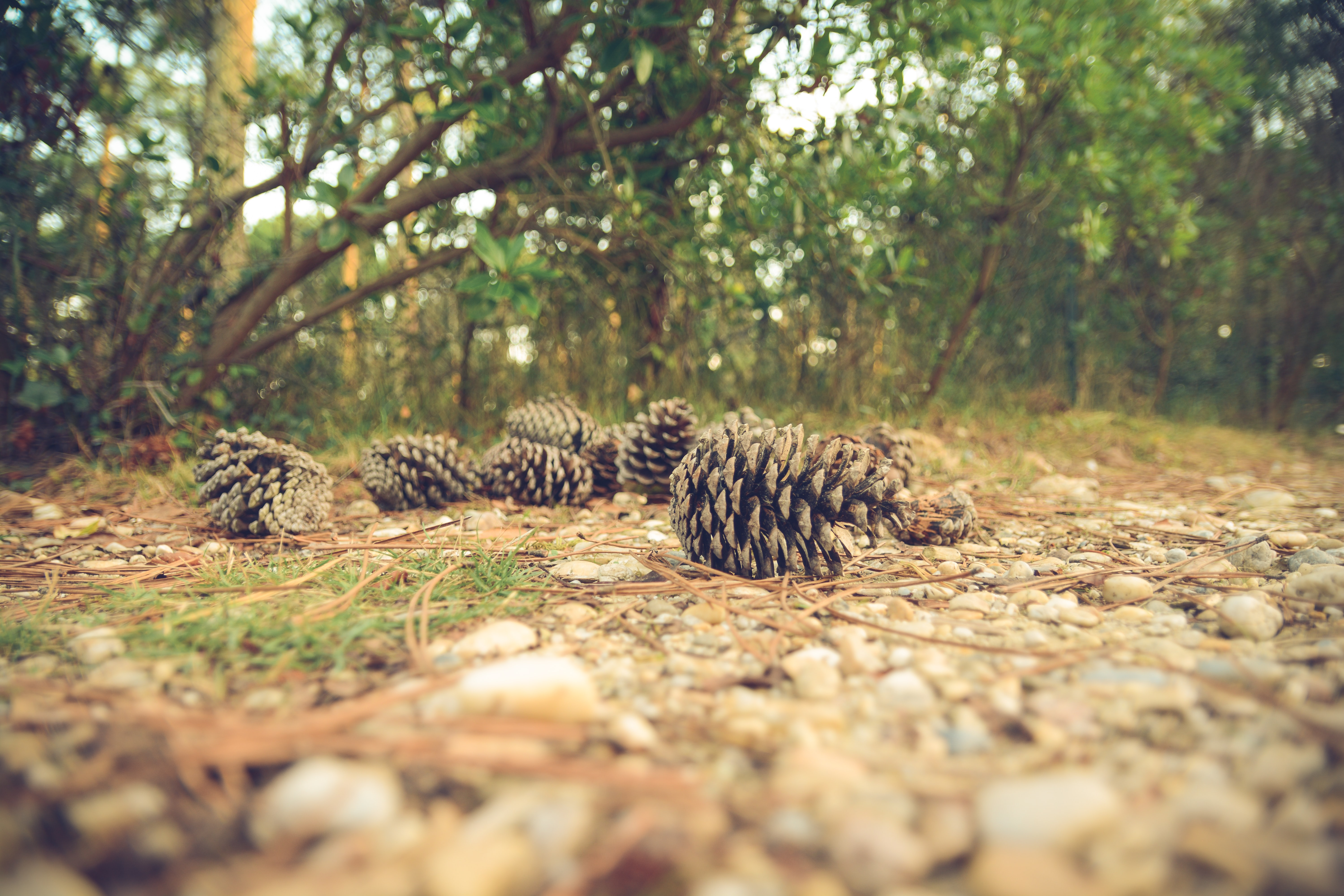 Low shot of a number of conifer cones on the forest floor