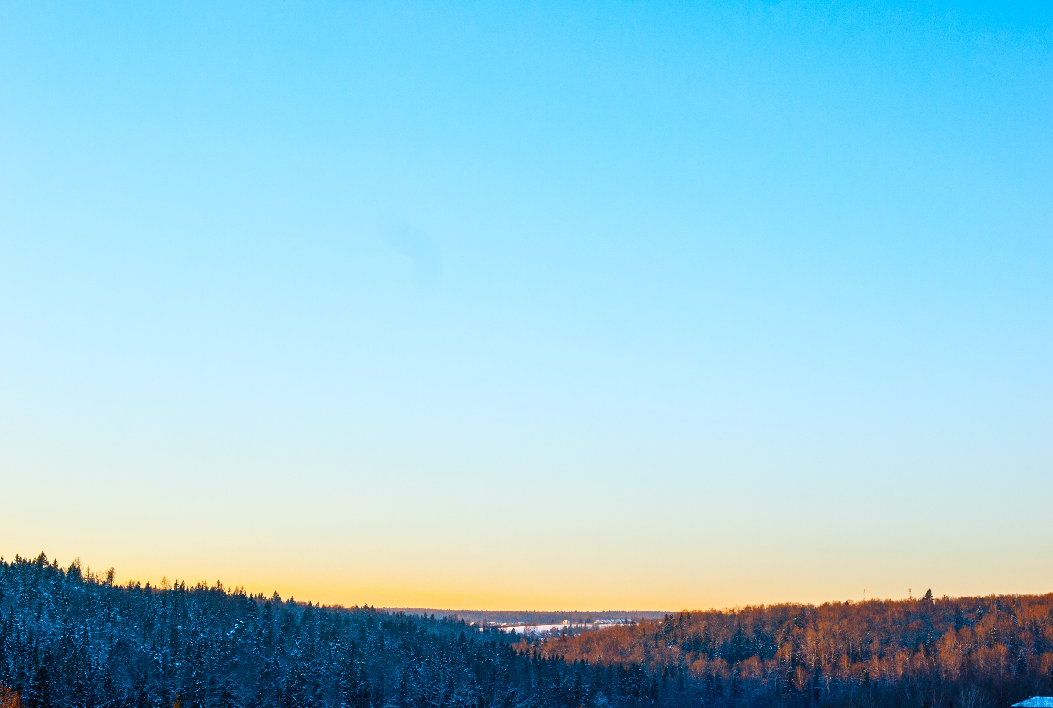 Coniferous forest in orange light and dark blue shade beneath a clear sky
