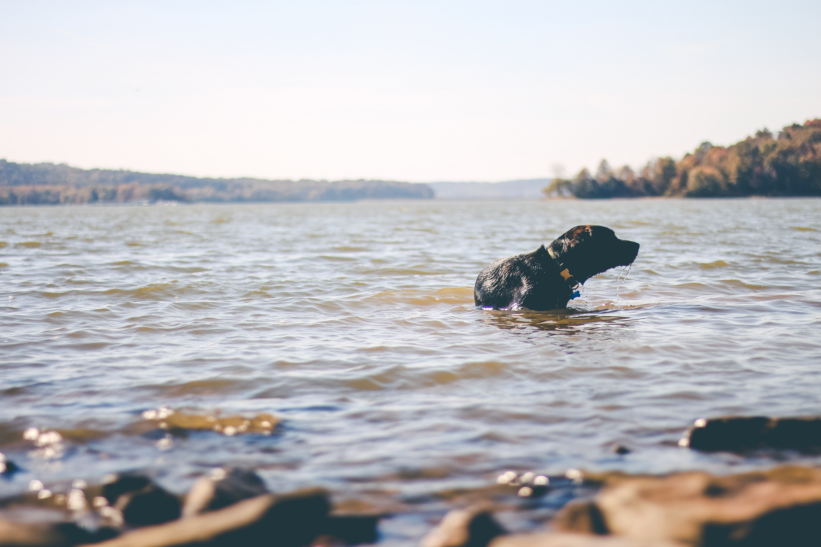 black Labrador dog on body of water