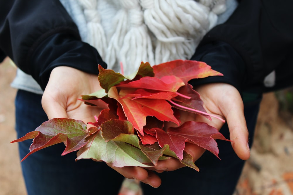 person holding red and green leaves