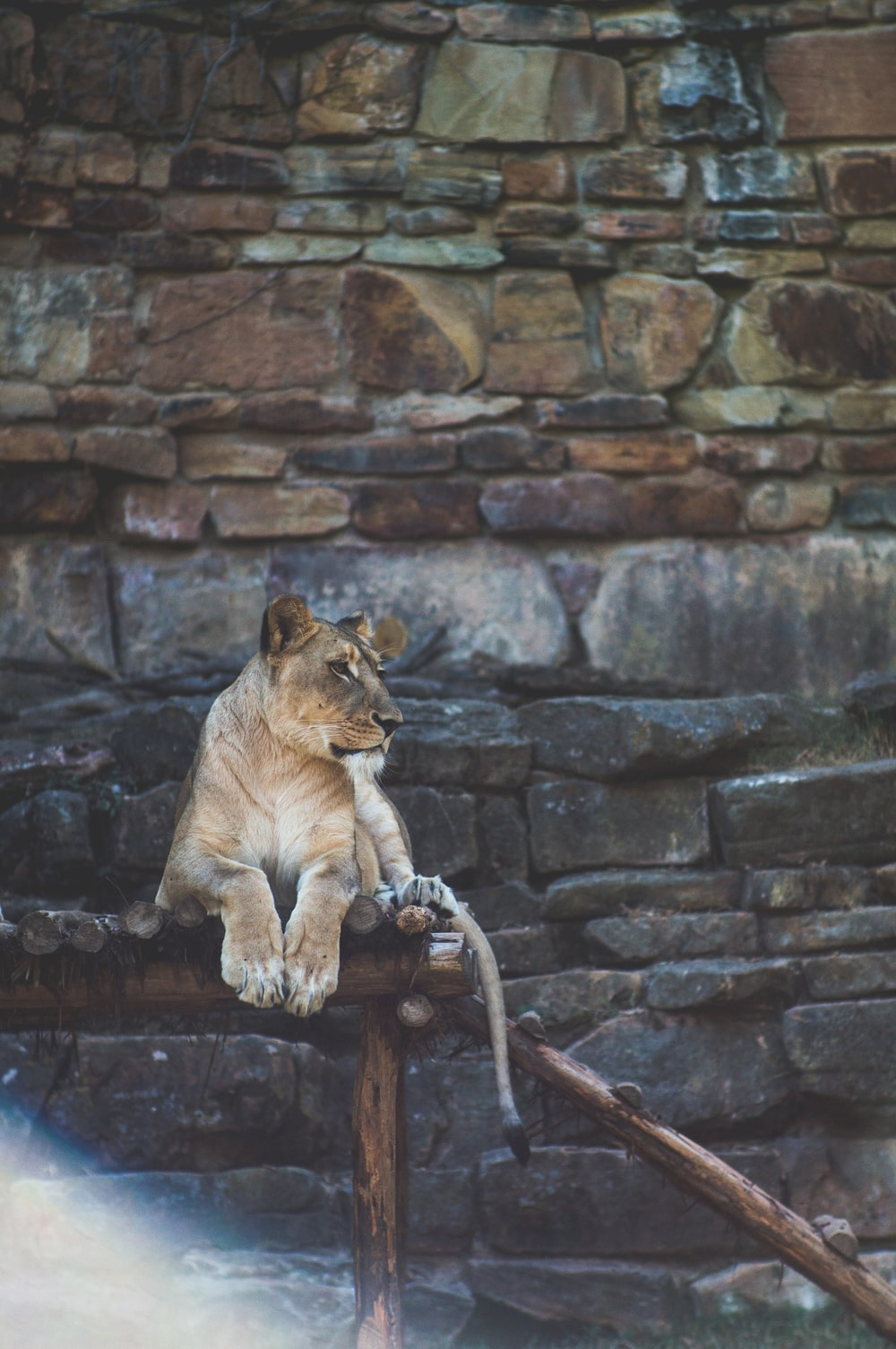 lion lying on brown wooden stand