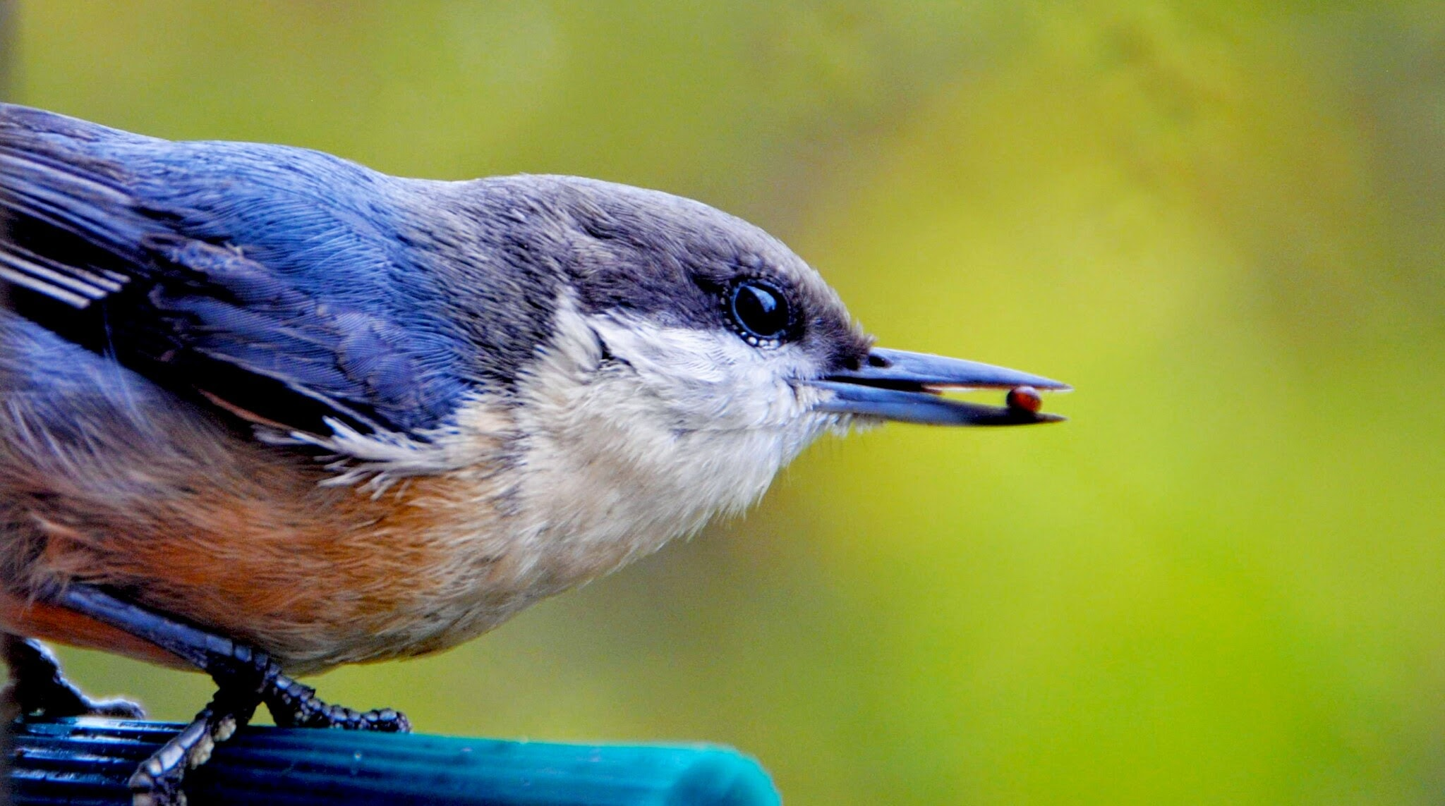 A close-up of a small blue and orange bird clutching a tiny seed in its beak