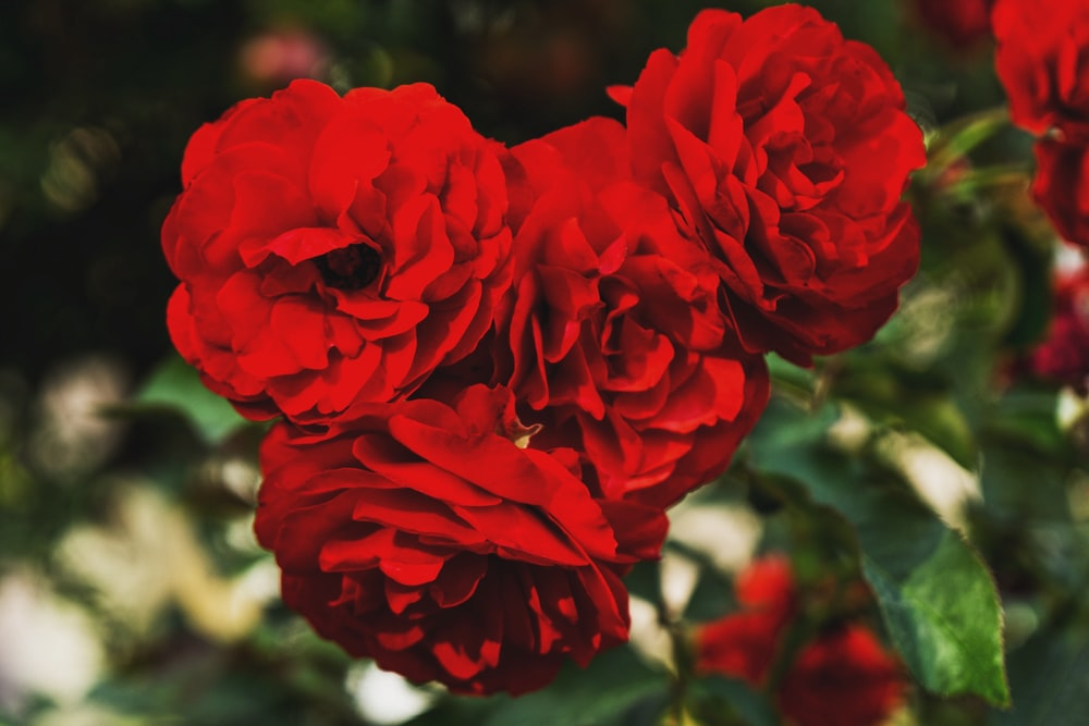 close-up photography of red rose flowers in bloom during daytime