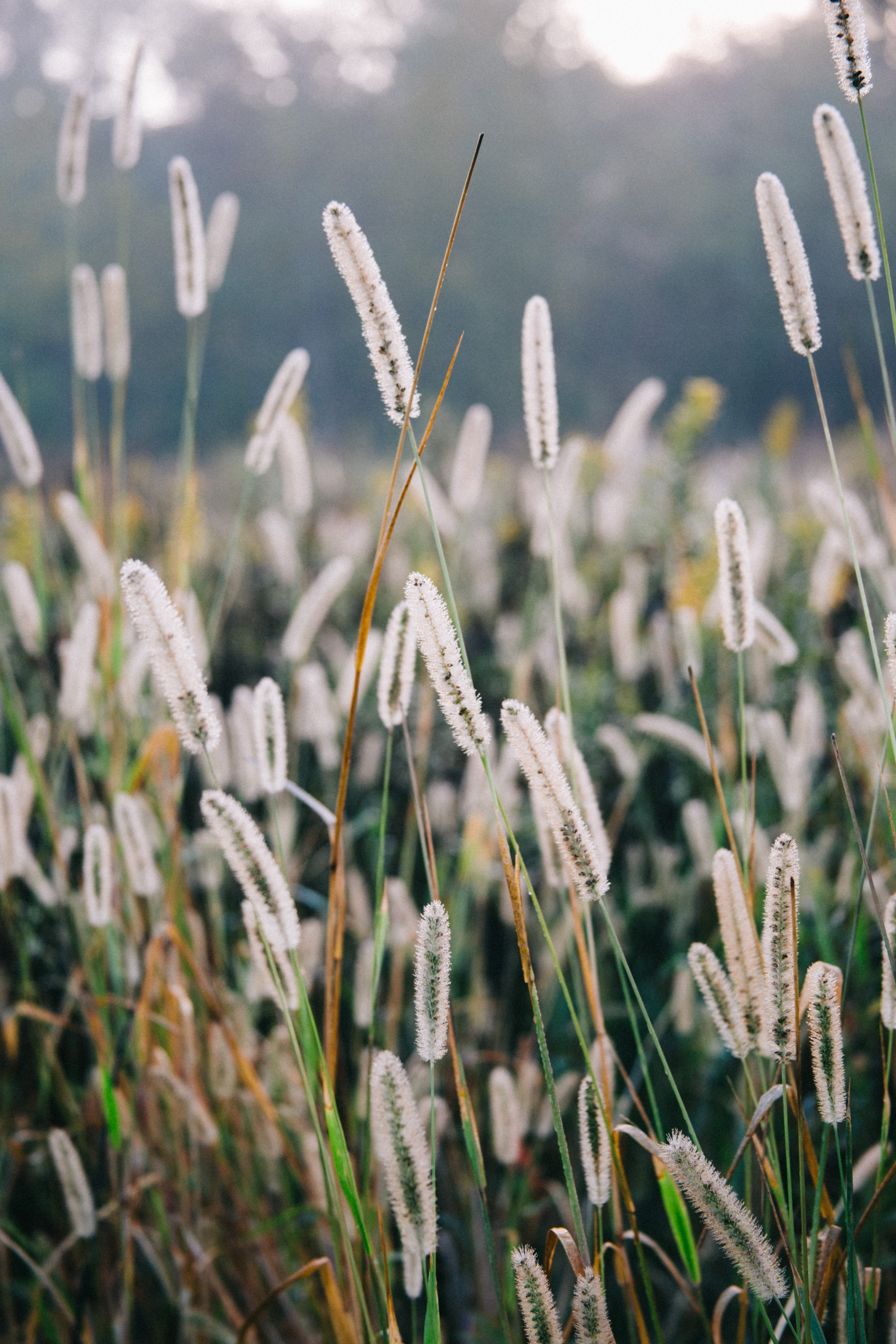 A close-up of white reeds in the meadow