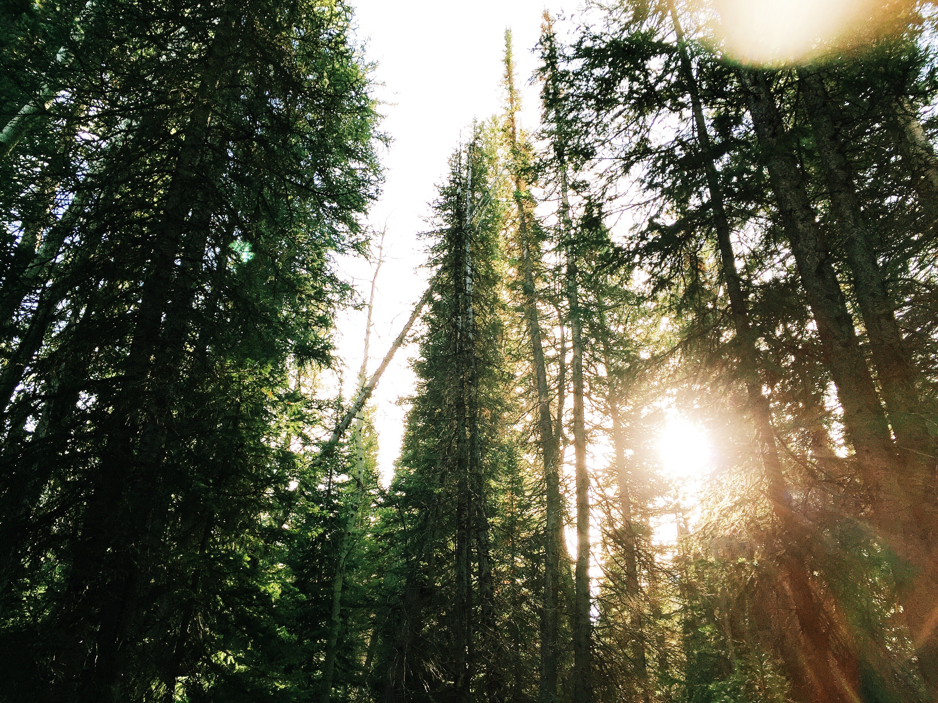 Tall evergreen trees with sun shining through their branches